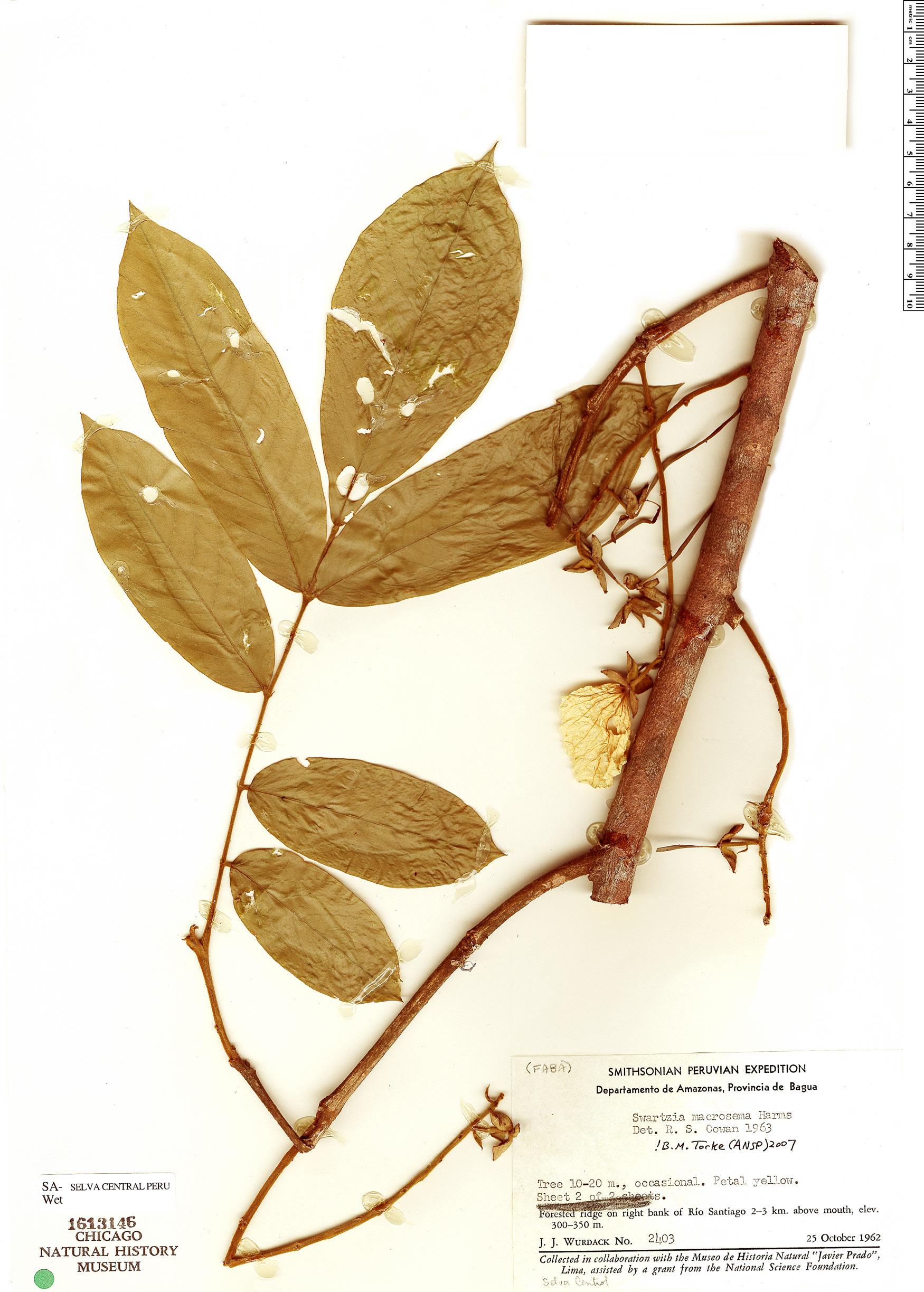 Specimen: Swartzia macrosema