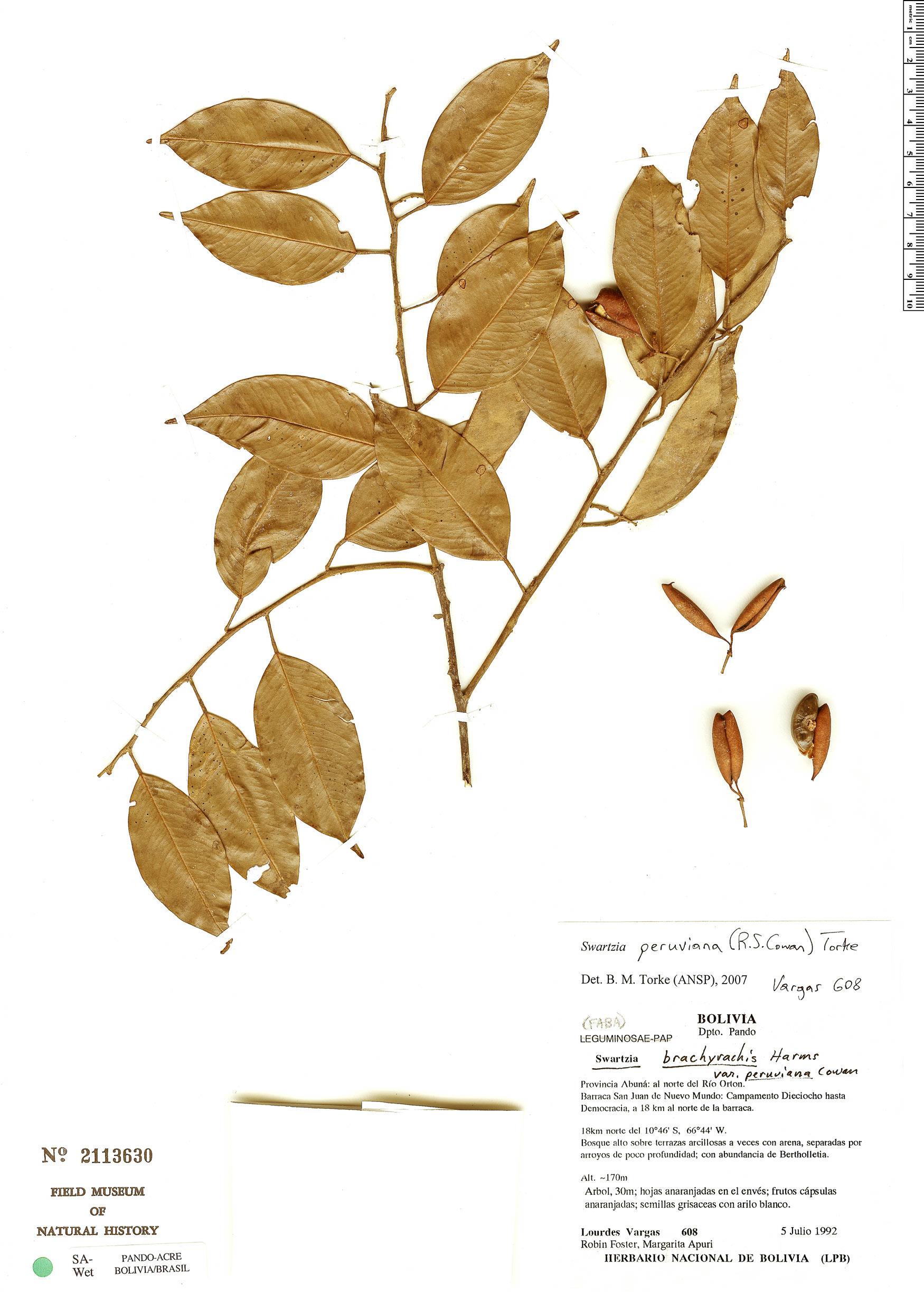 Specimen: Swartzia peruviana