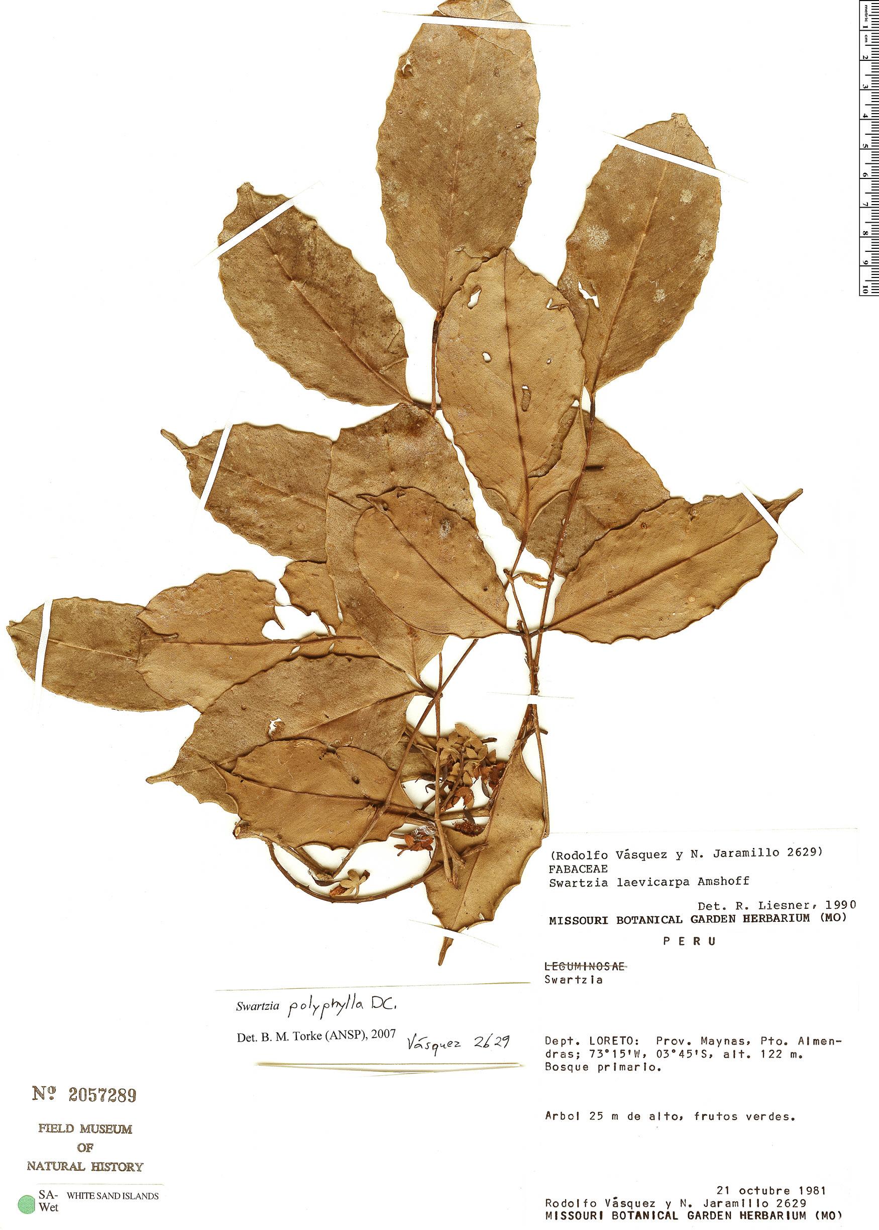 Specimen: Swartzia polyphylla