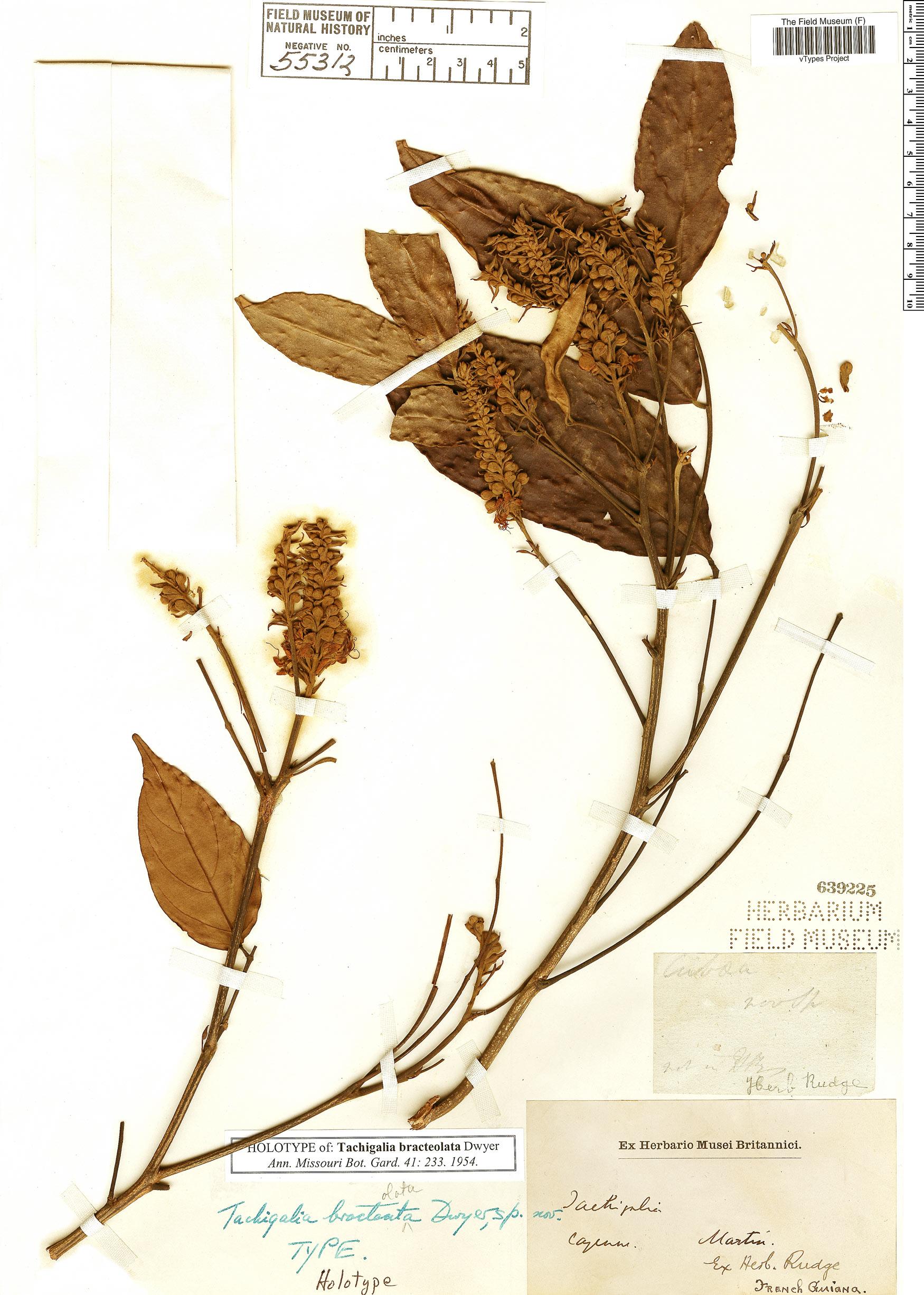 Specimen: Tachigali richardiana