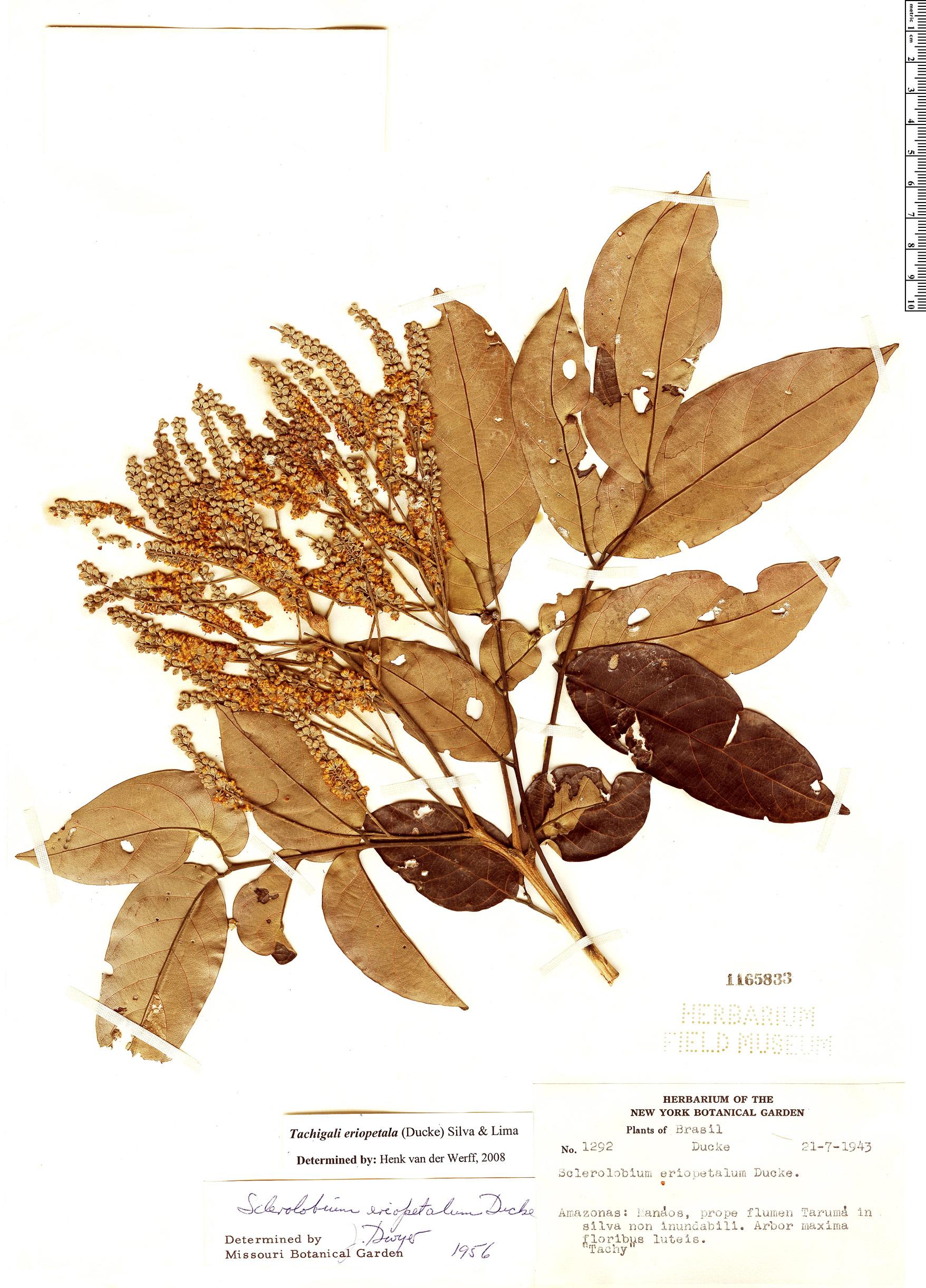 Specimen: Tachigali eriopetala