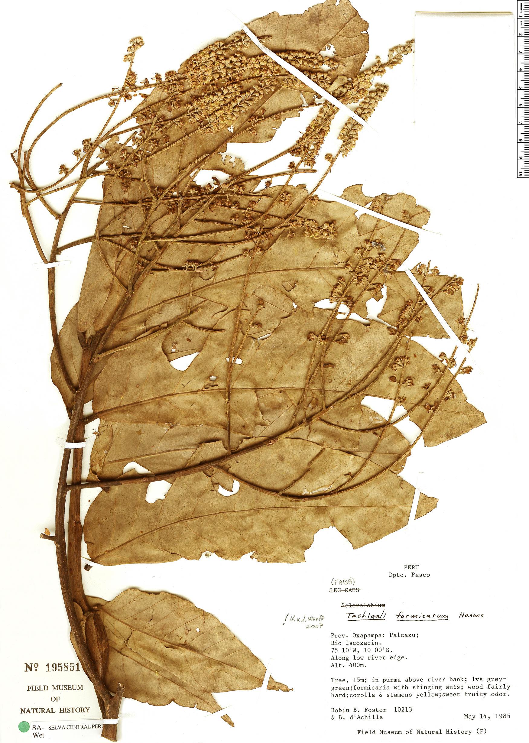 Specimen: Tachigali formicarum