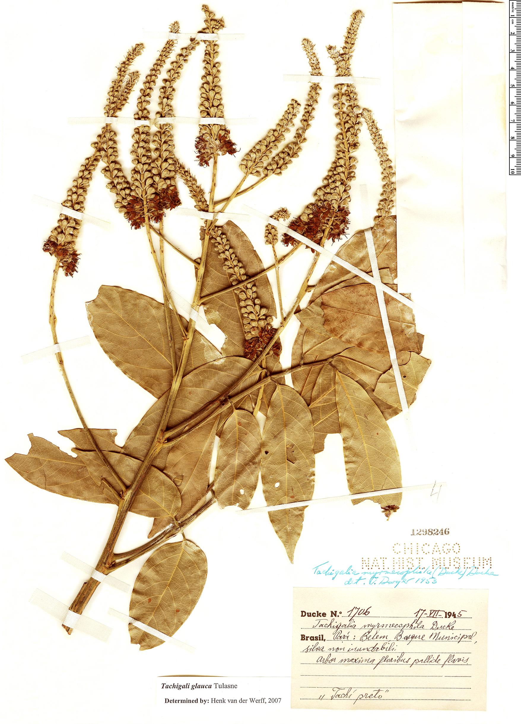 Specimen: Tachigali glauca