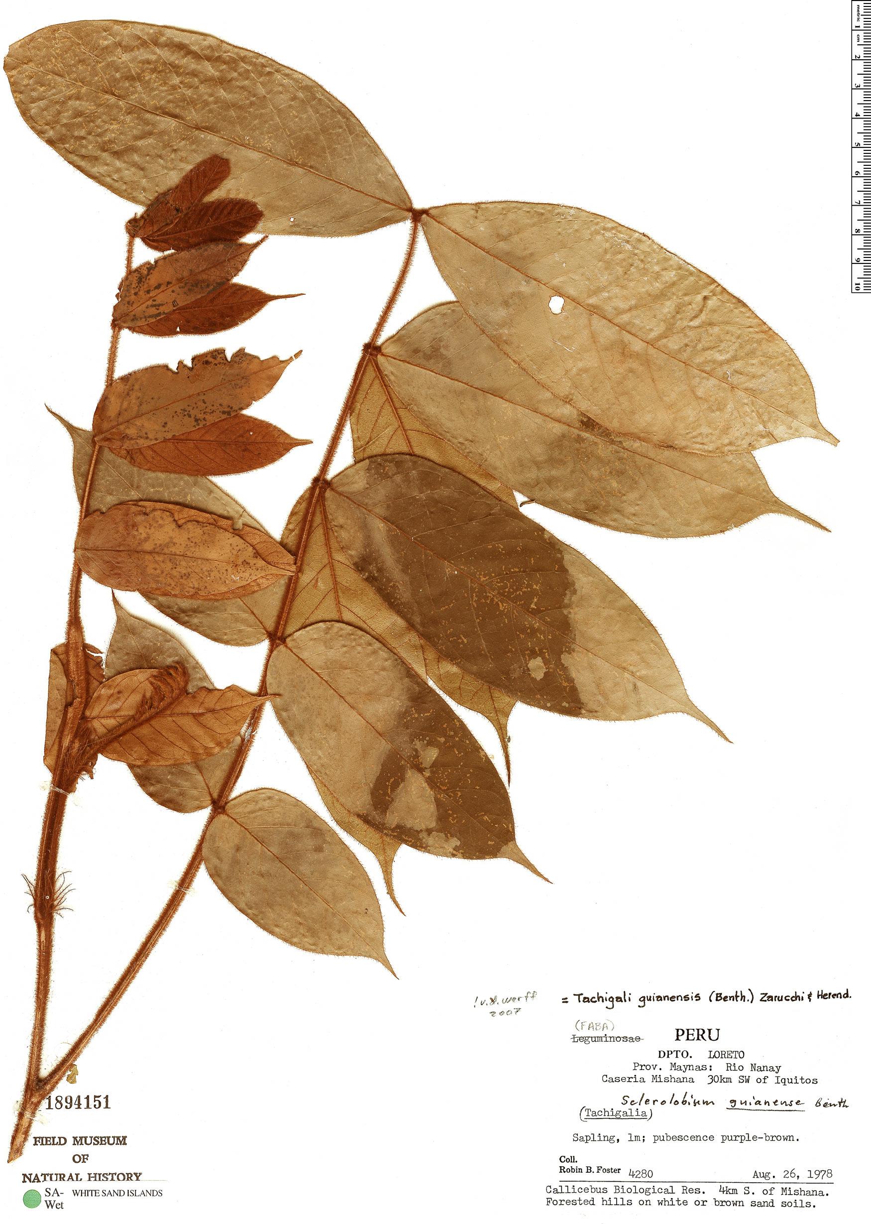 Specimen: Tachigali guianensis