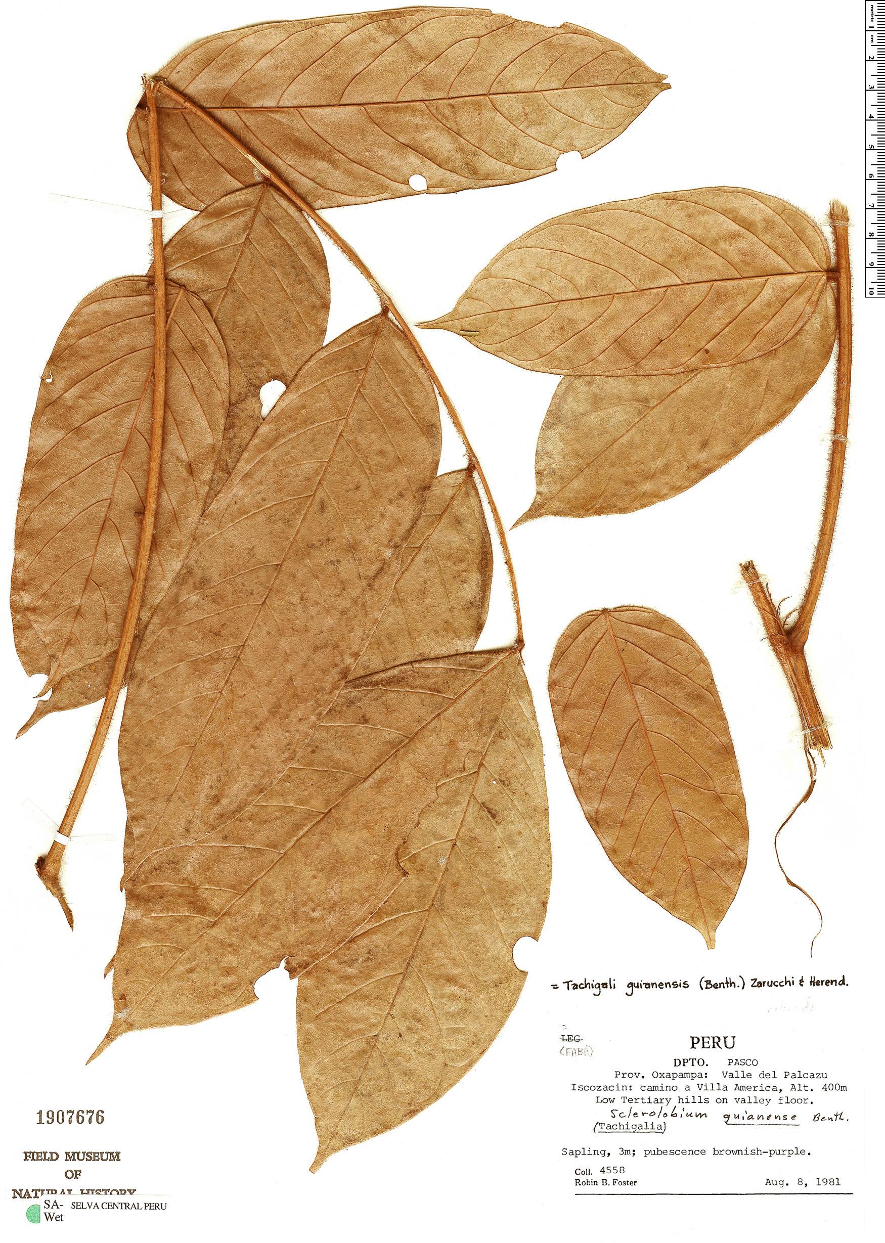 Espécimen: Tachigali guianensis