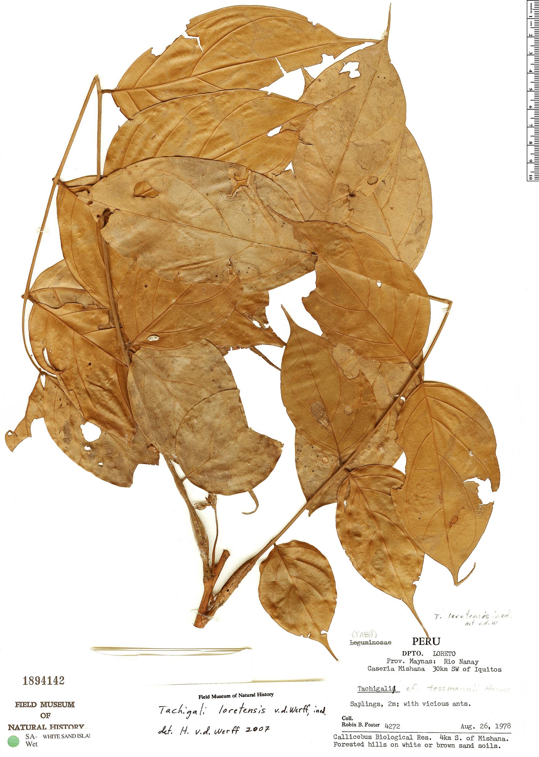 Espécimen: Tachigali loretensis
