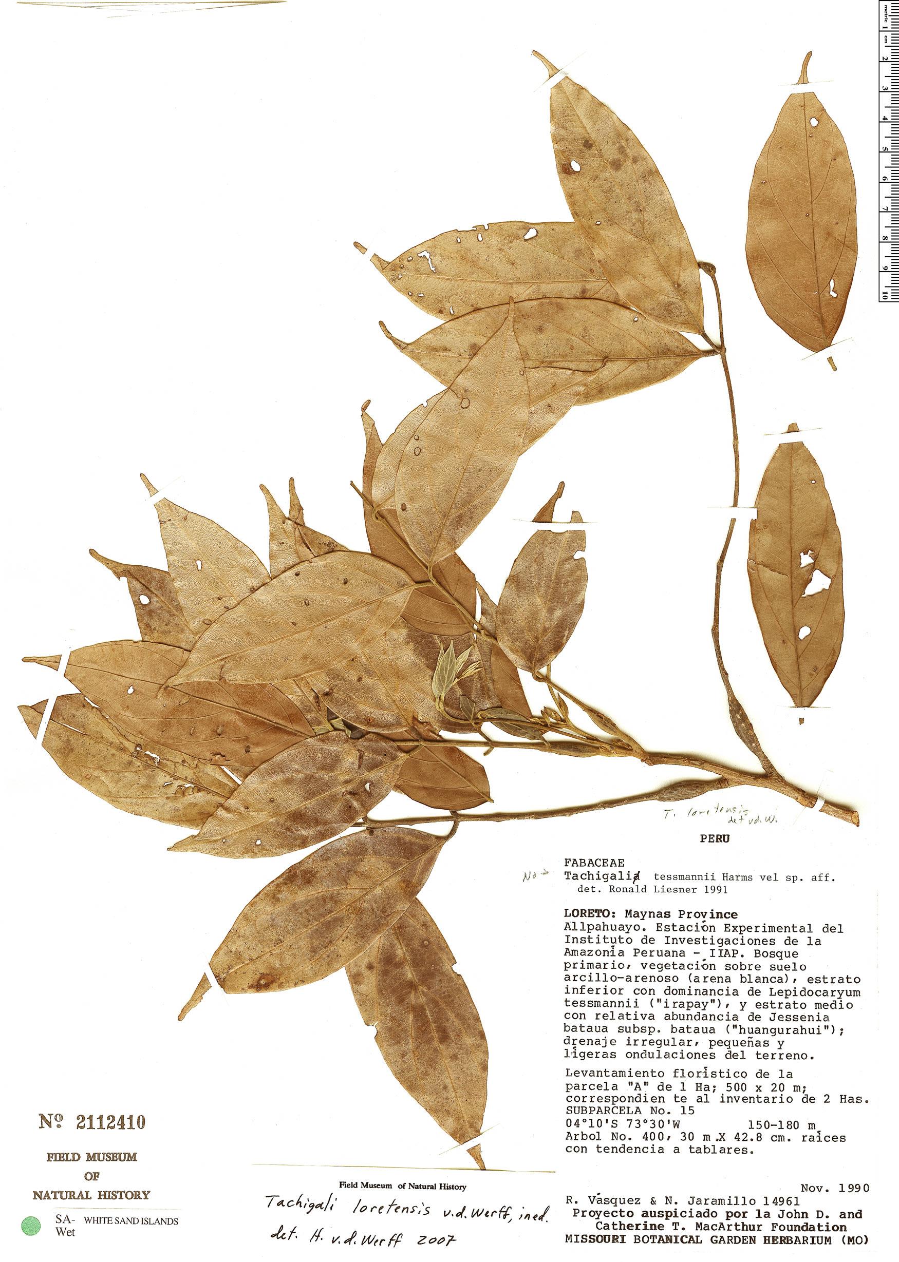 Espécime: Tachigali loretensis