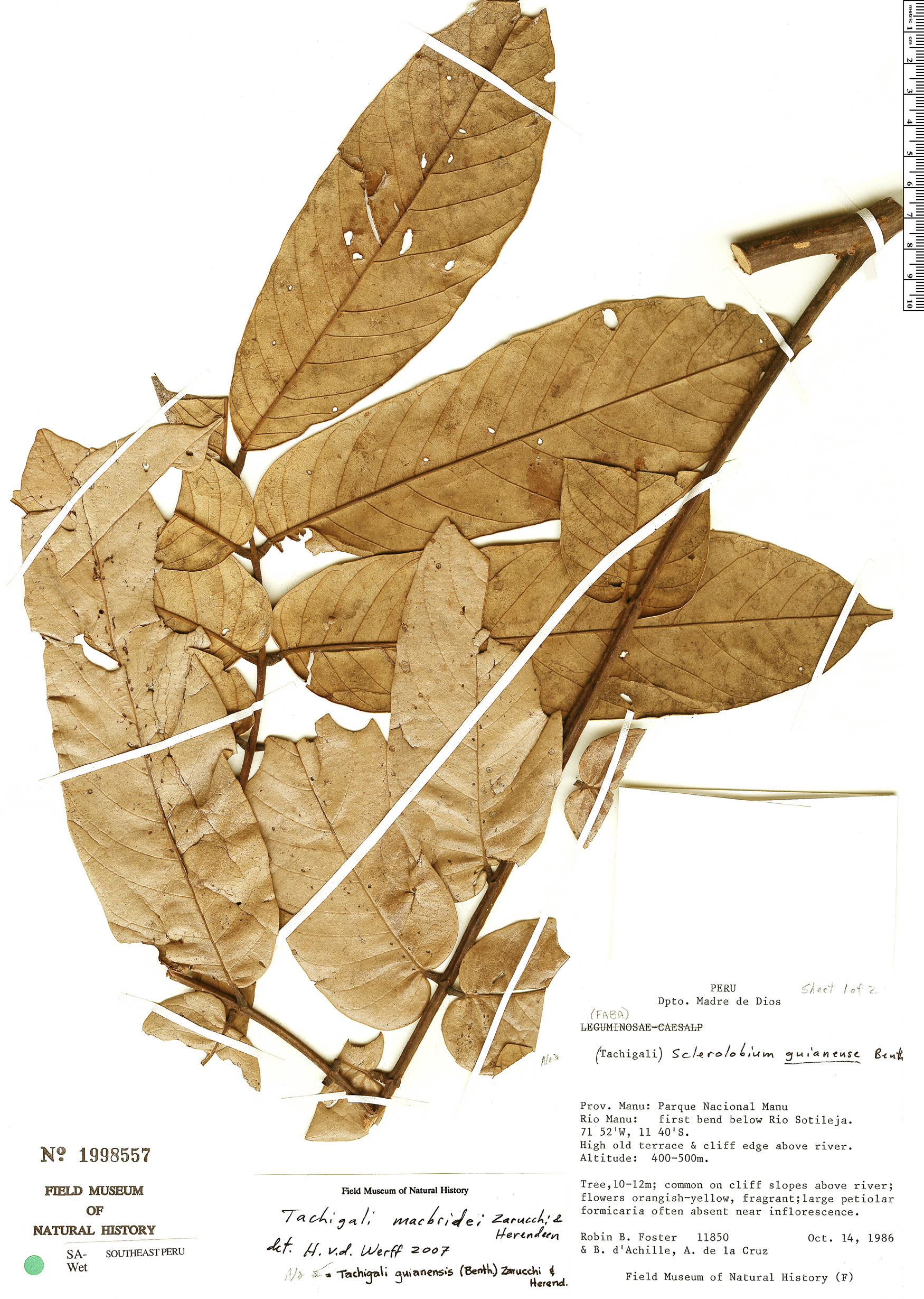 Specimen: Tachigali macbridei