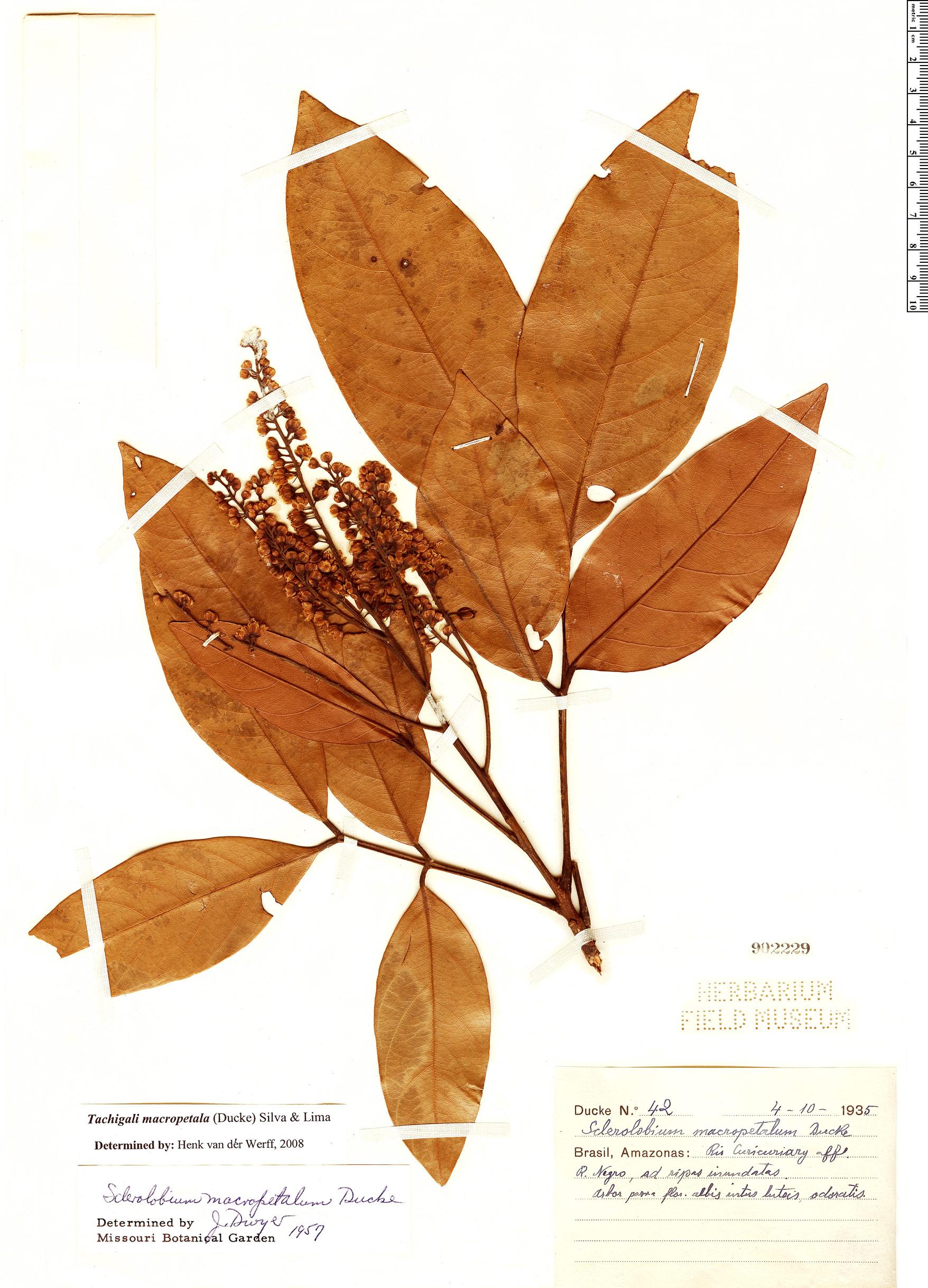 Specimen: Tachigali macropetala
