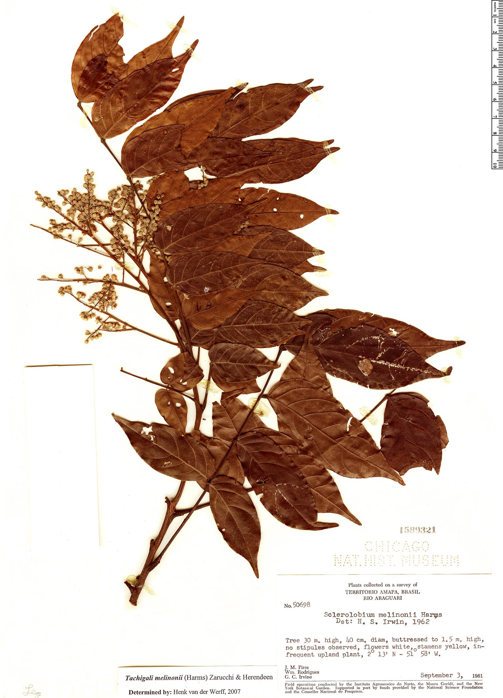Specimen: Tachigali melinonii