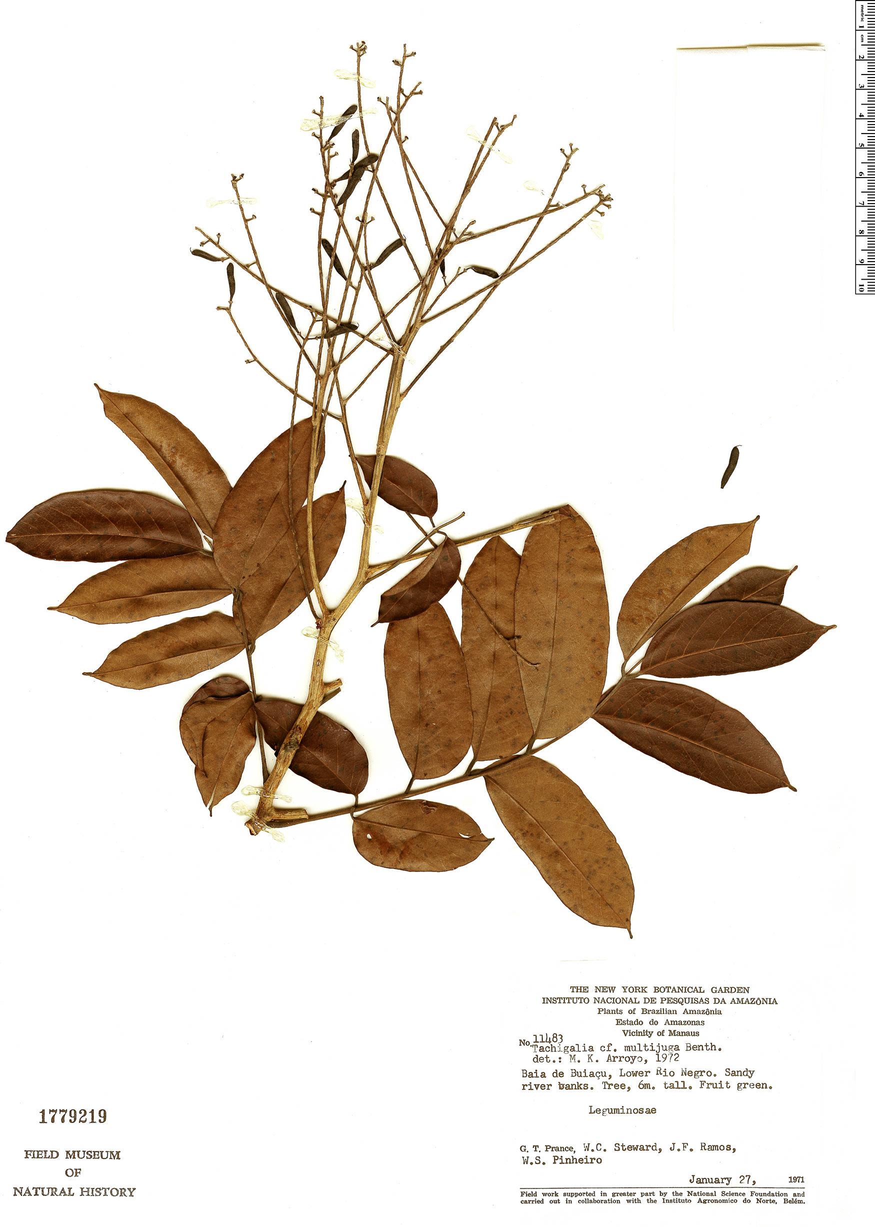Specimen: Tachigali vulgaris