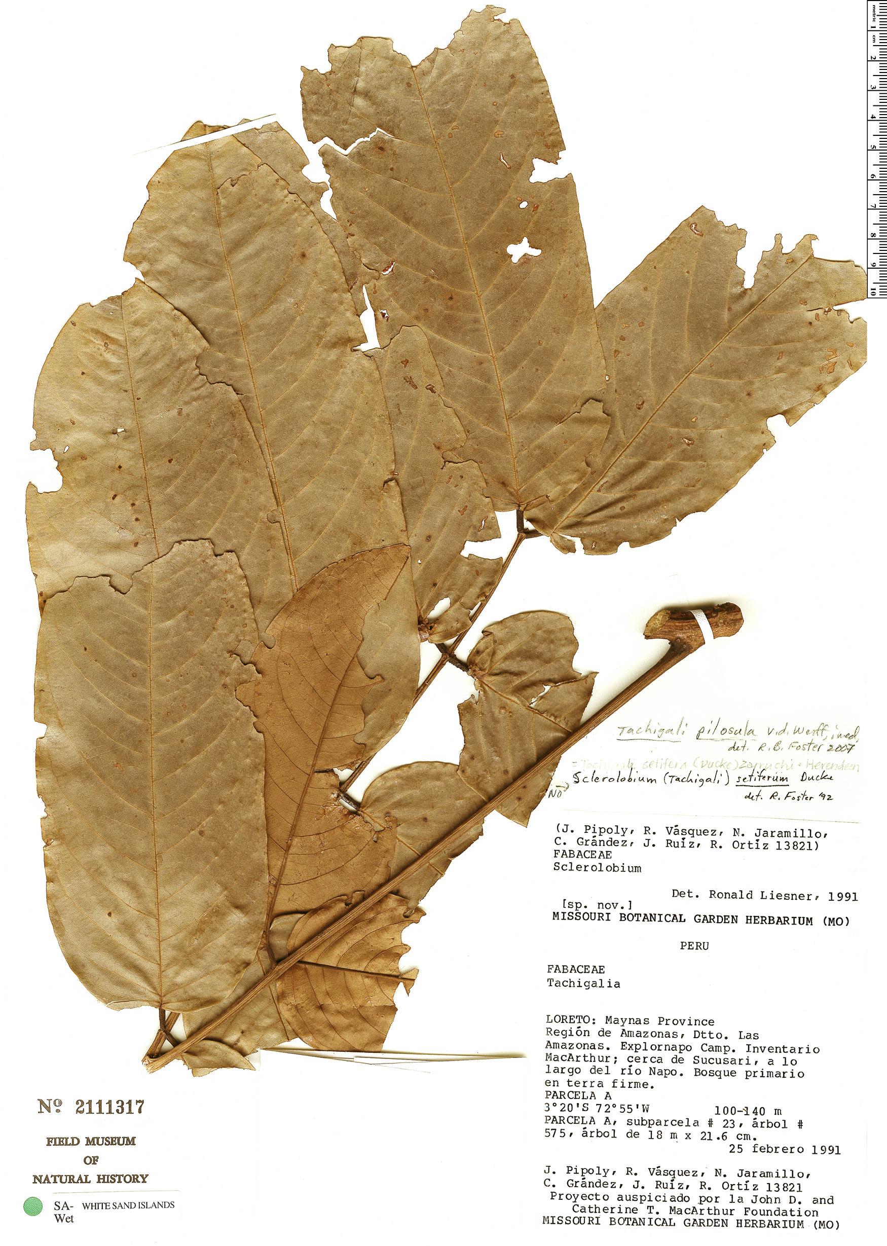 Specimen: Tachigali pilosula