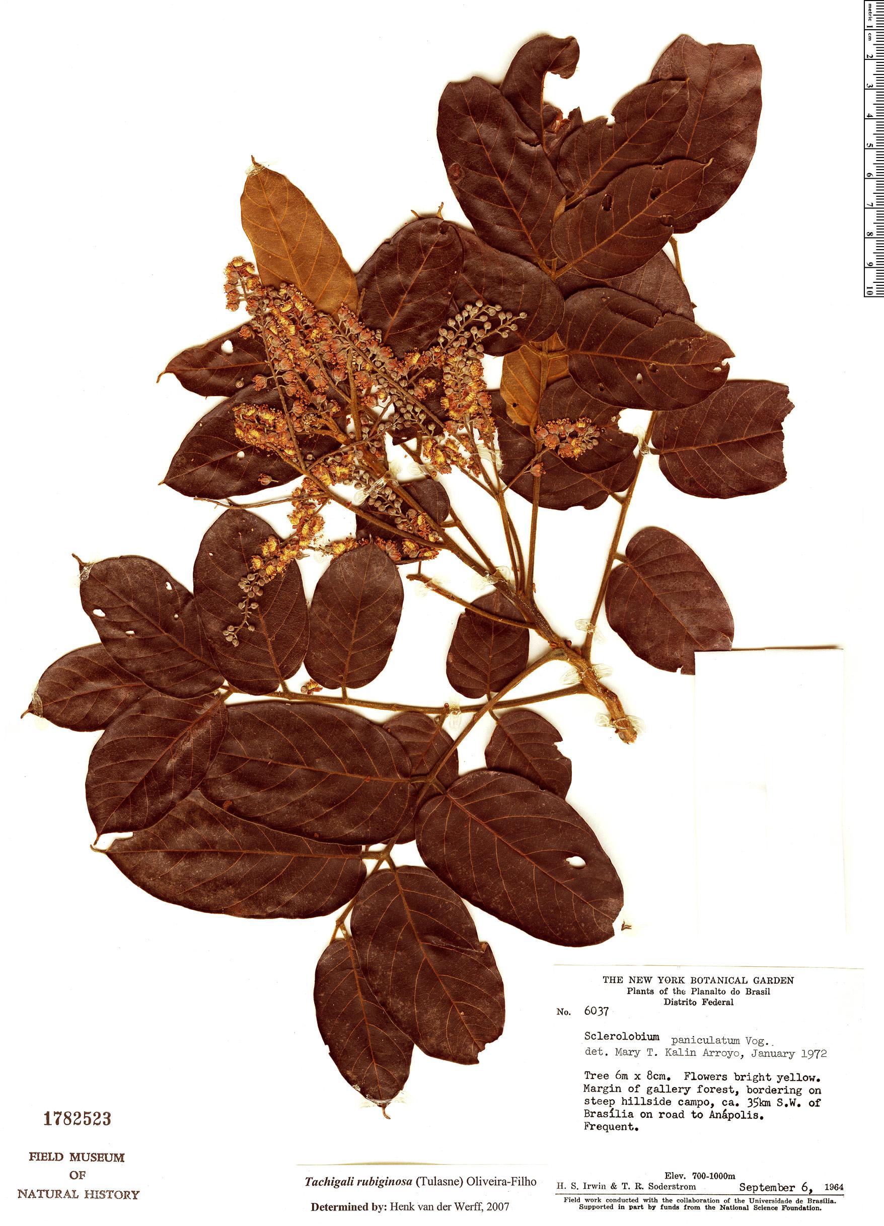 Specimen: Tachigali rubiginosa
