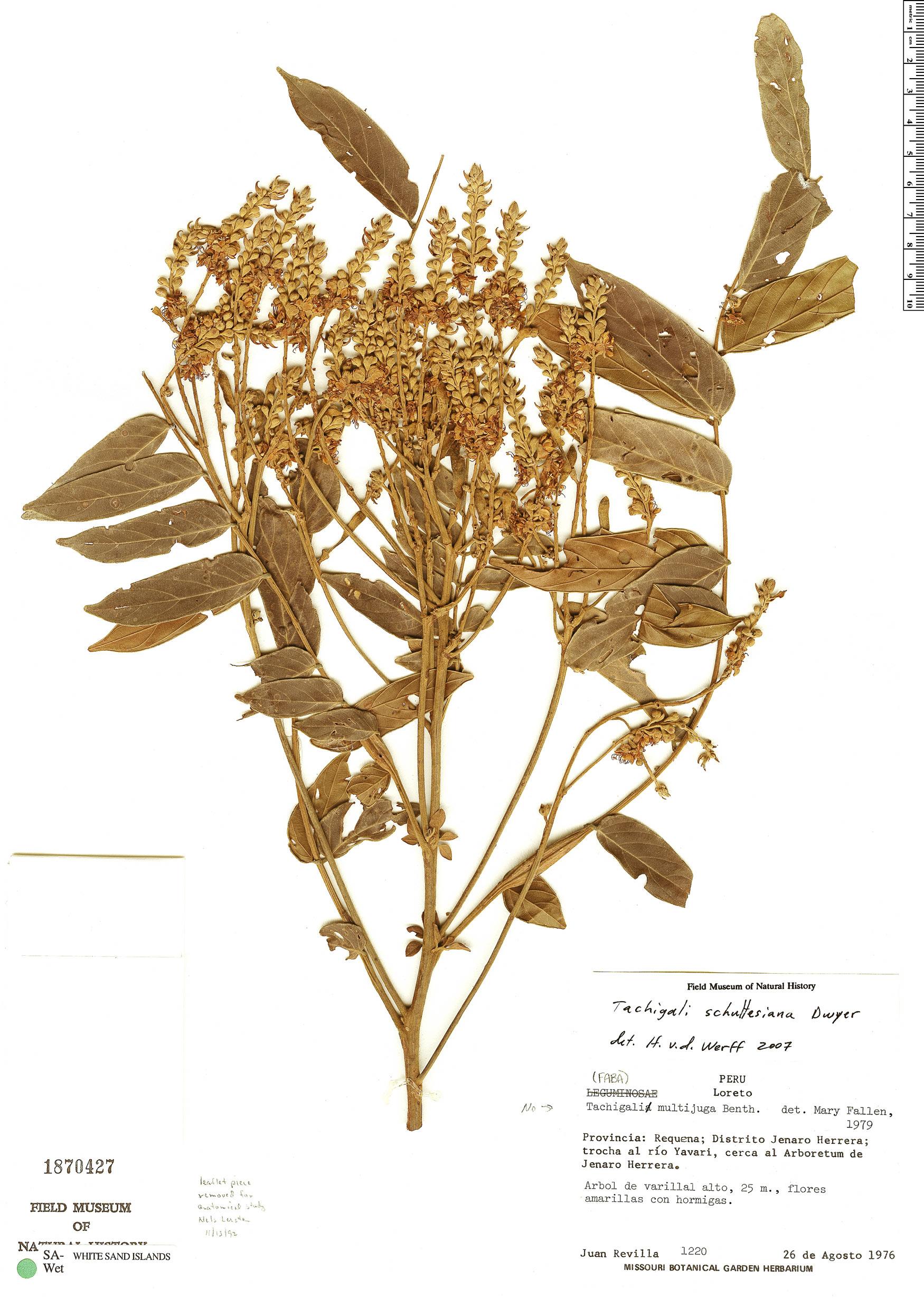 Specimen: Tachigali schultesiana