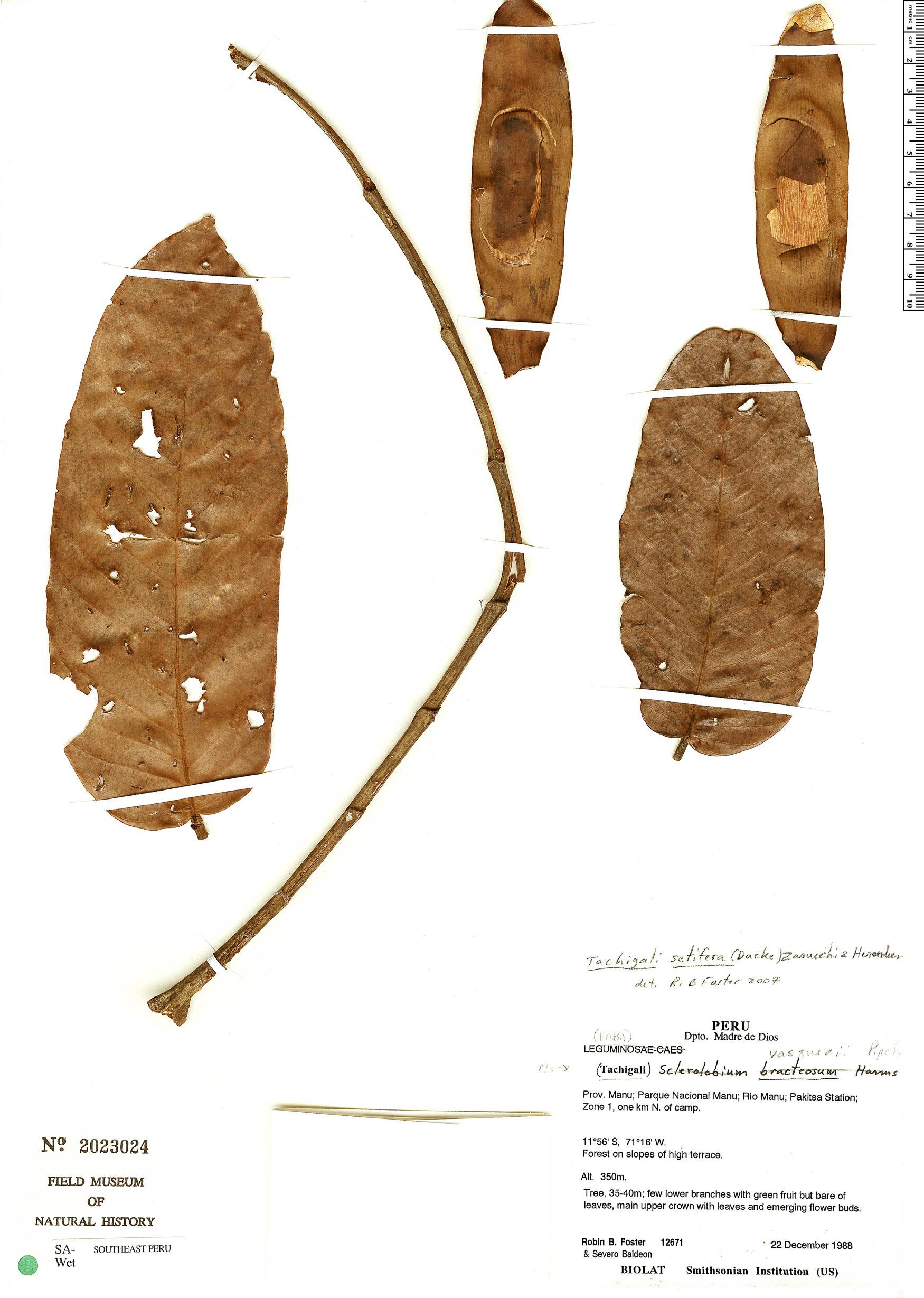 Specimen: Tachigali setifera