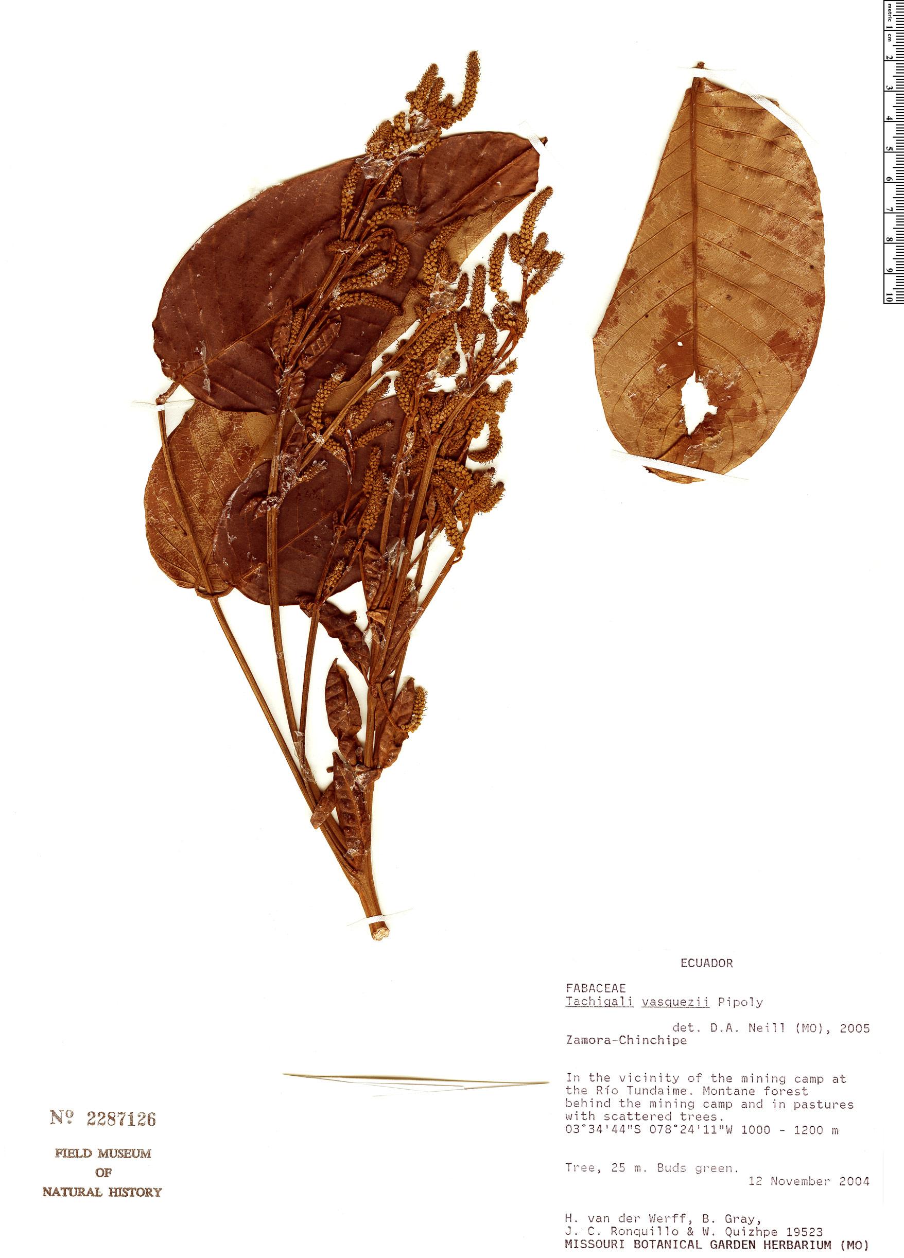 Specimen: Tachigali chrysaloides