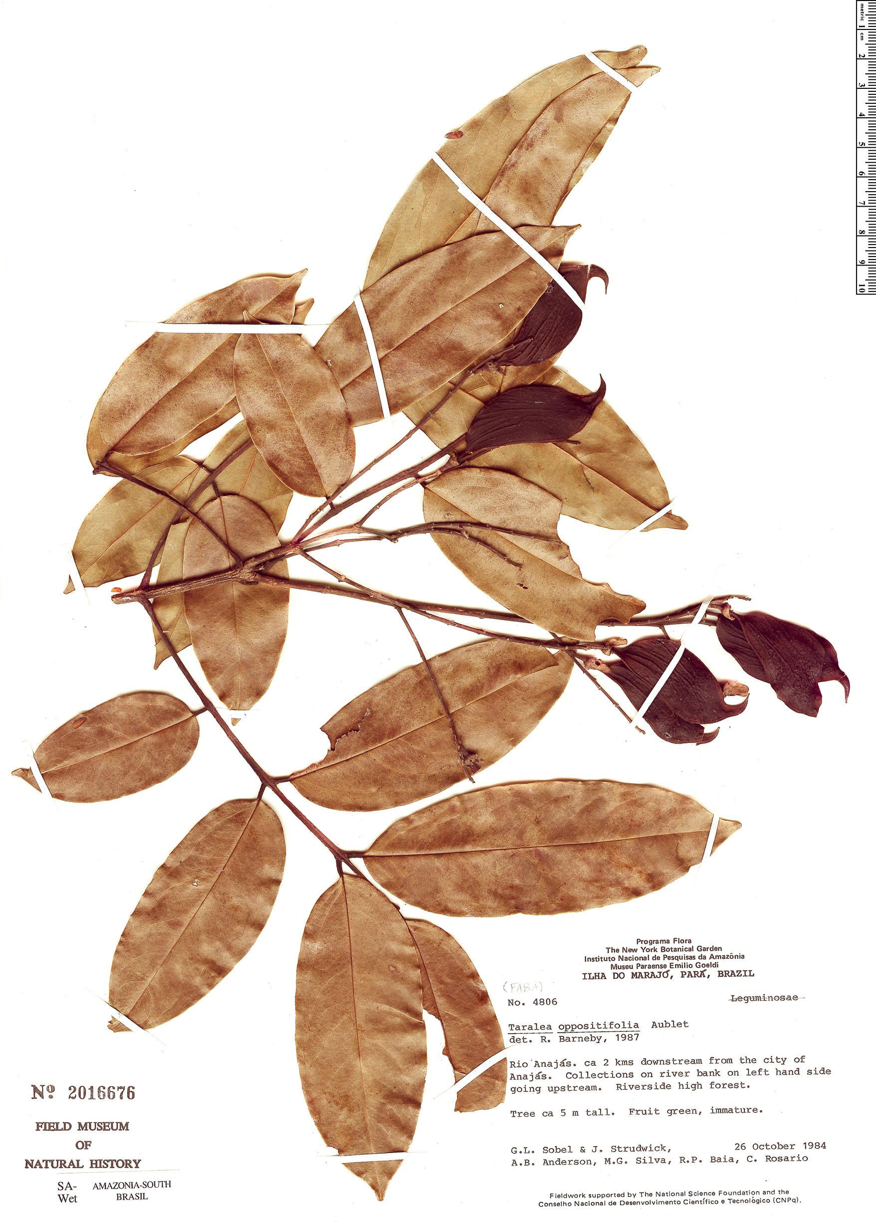 Specimen: Taralea oppositifolia