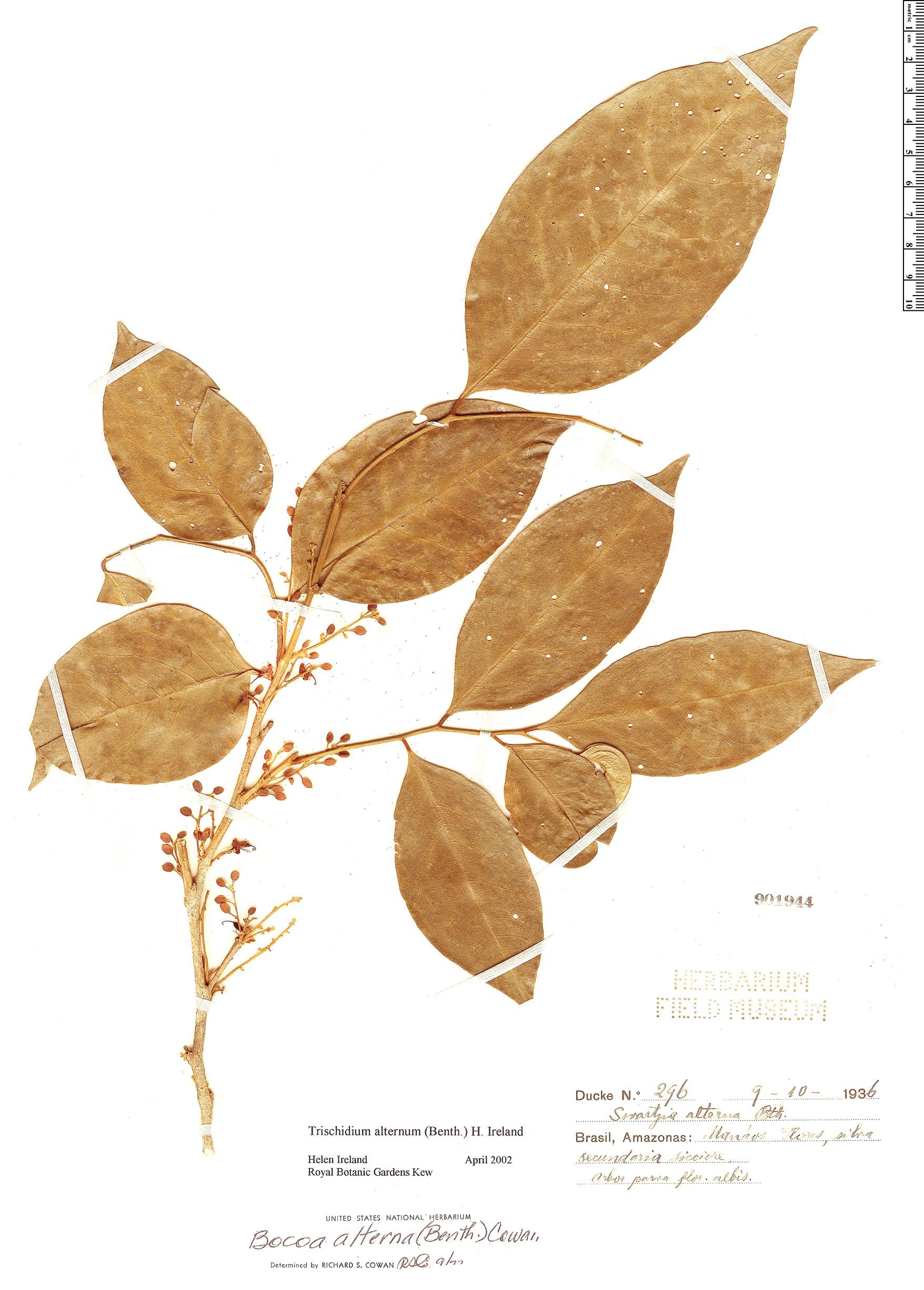Specimen: Trischidium alternum