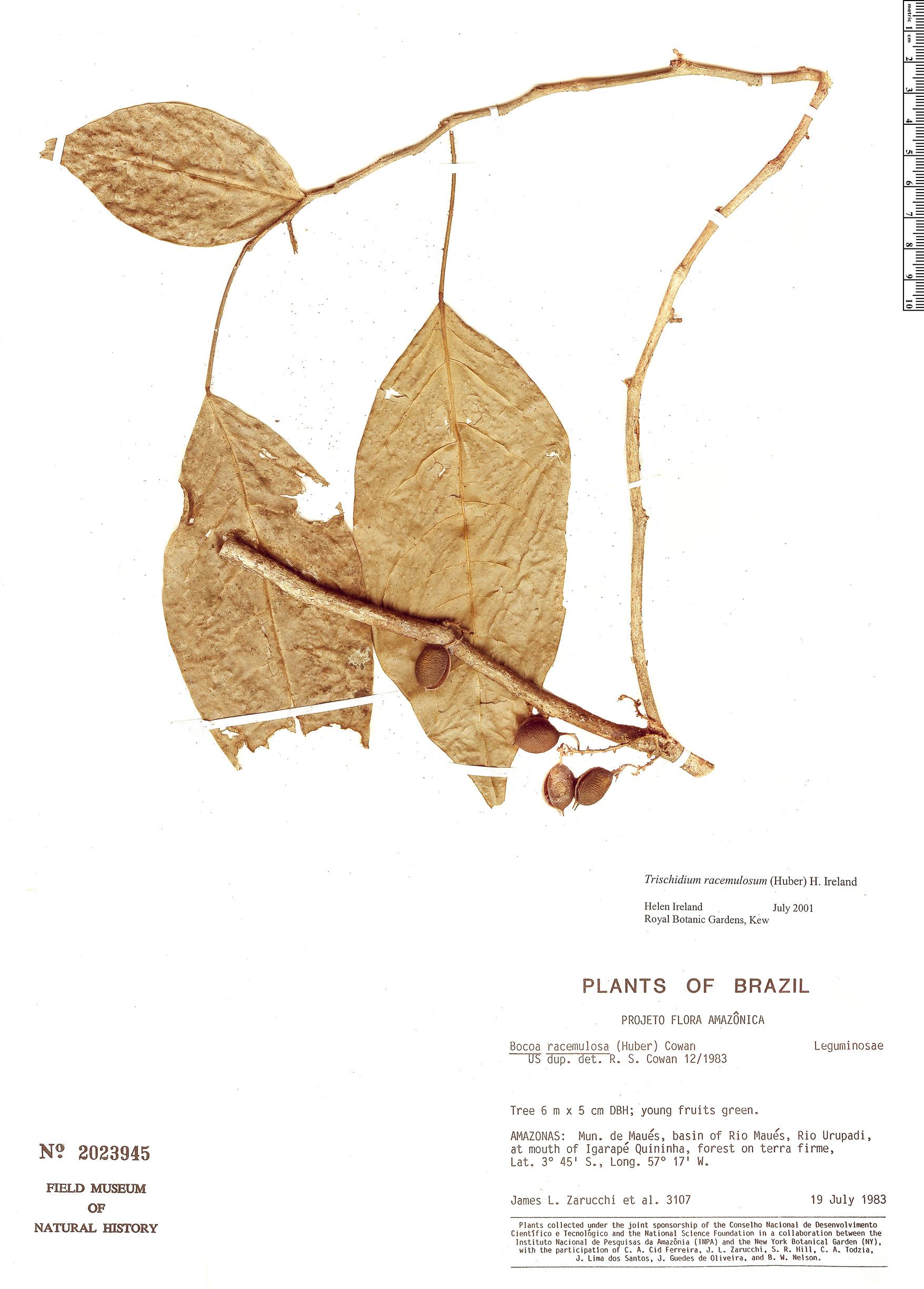 Specimen: Trischidium racemulosum