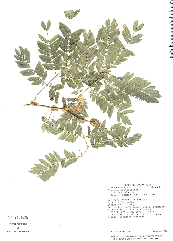 Specimen: Zapoteca costaricensis