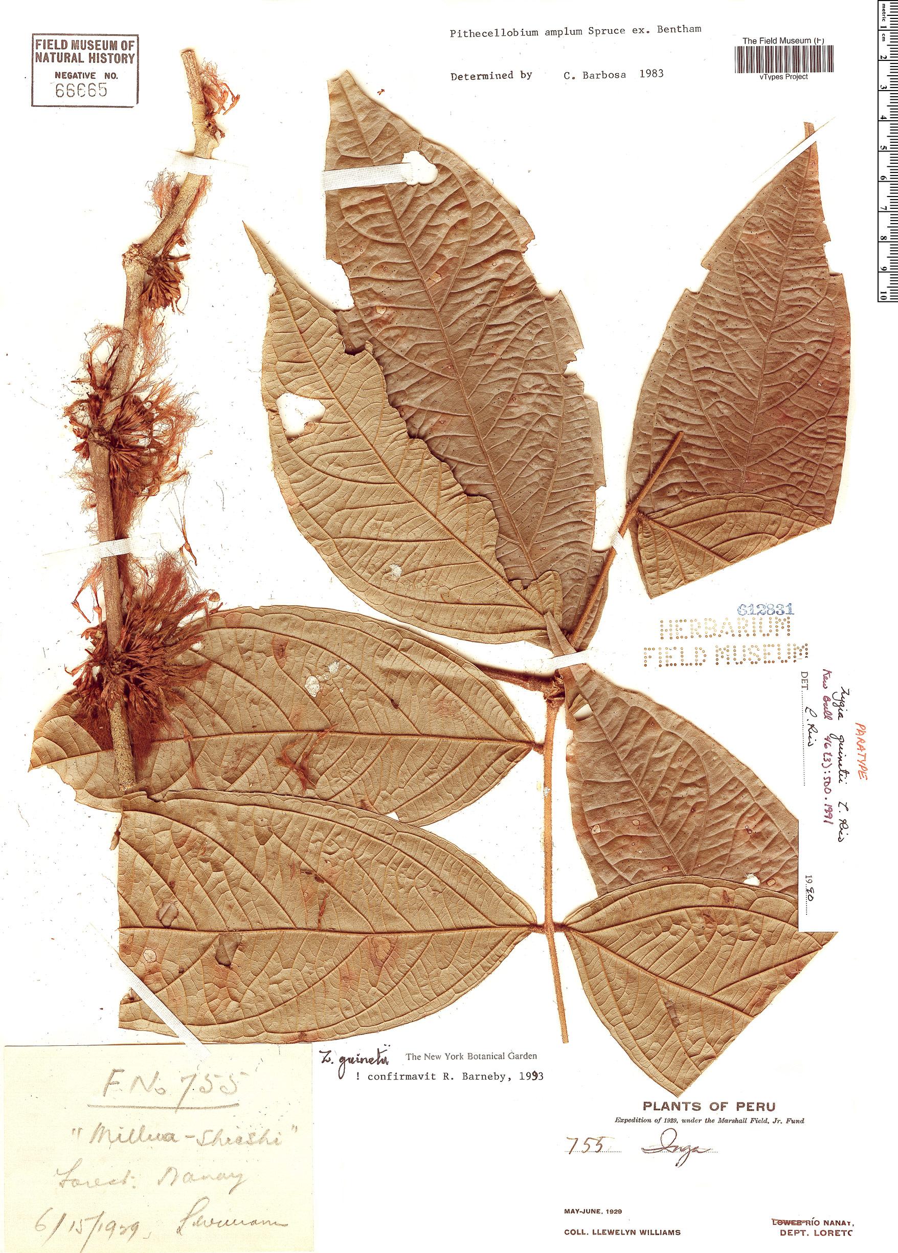 Specimen: Zygia guinetii