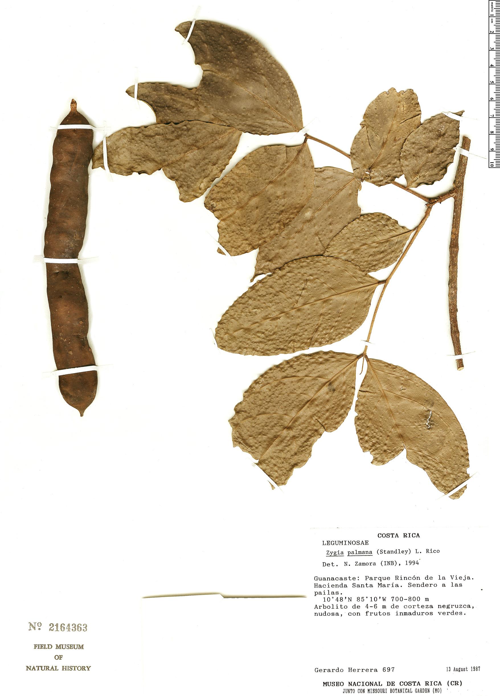 Specimen: Zygia palmana