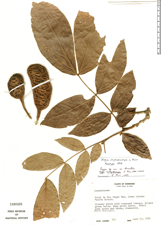 Specimen: Zygia rhytidocarpa