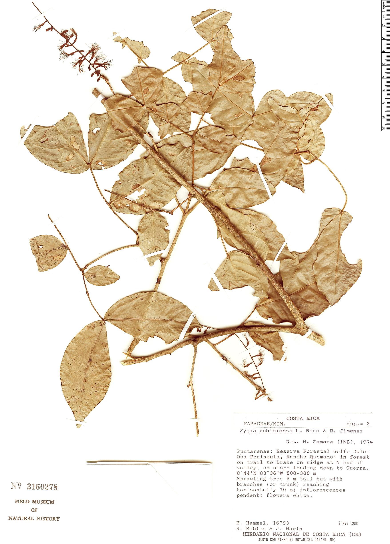 Specimen: Zygia rubiginosa