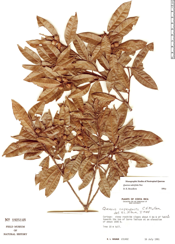 Specimen: Quercus salicifolia
