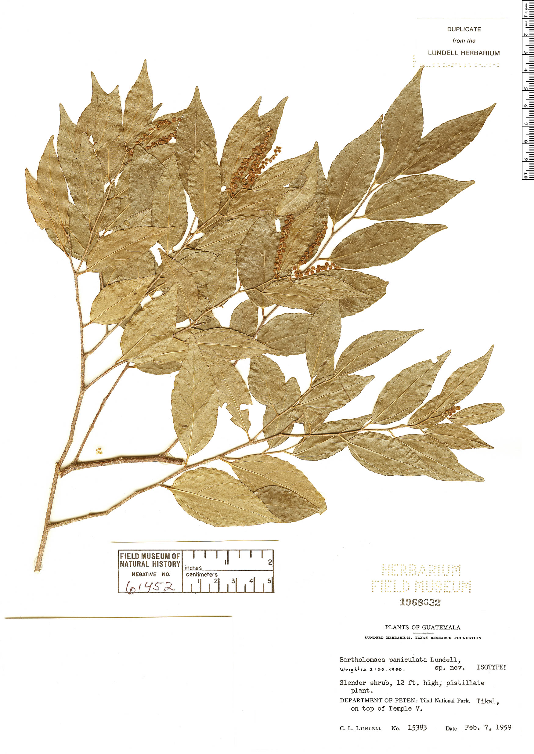 Espécimen: Bartholomaea sessiliflora