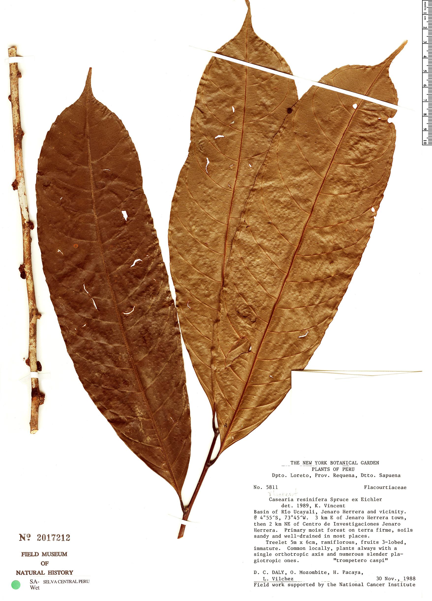 Espécimen: Casearia resinifera