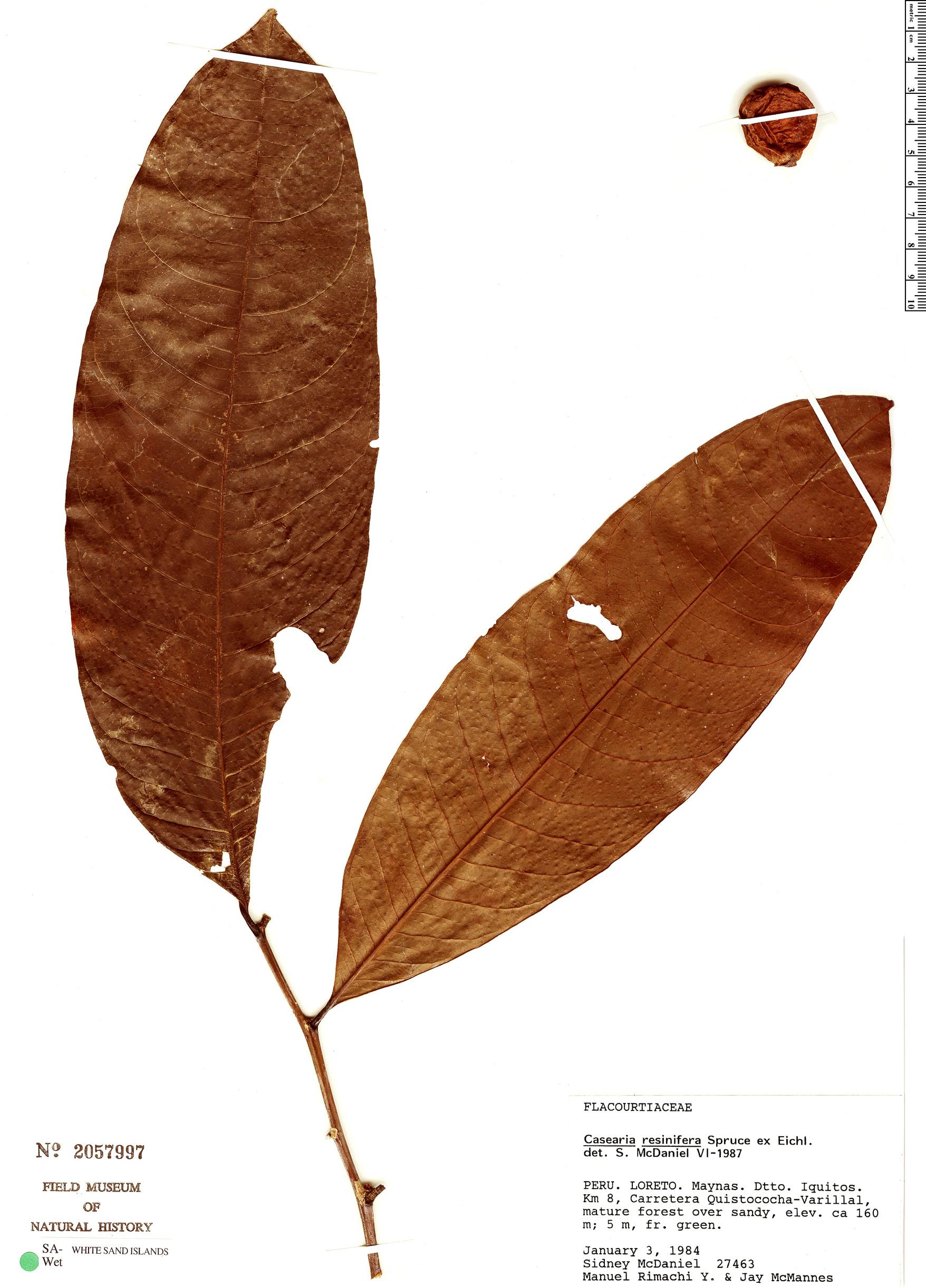 Specimen: Casearia resinifera