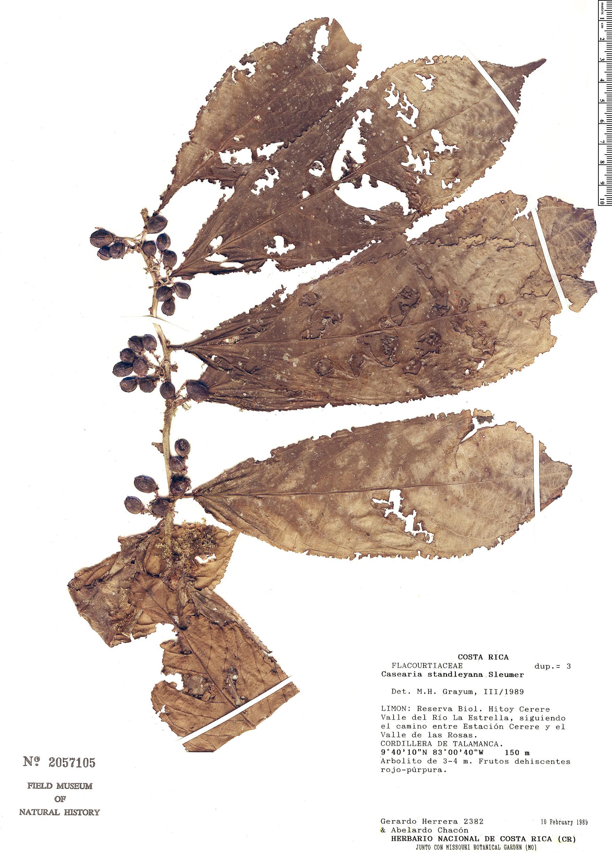 Specimen: Casearia standleyana