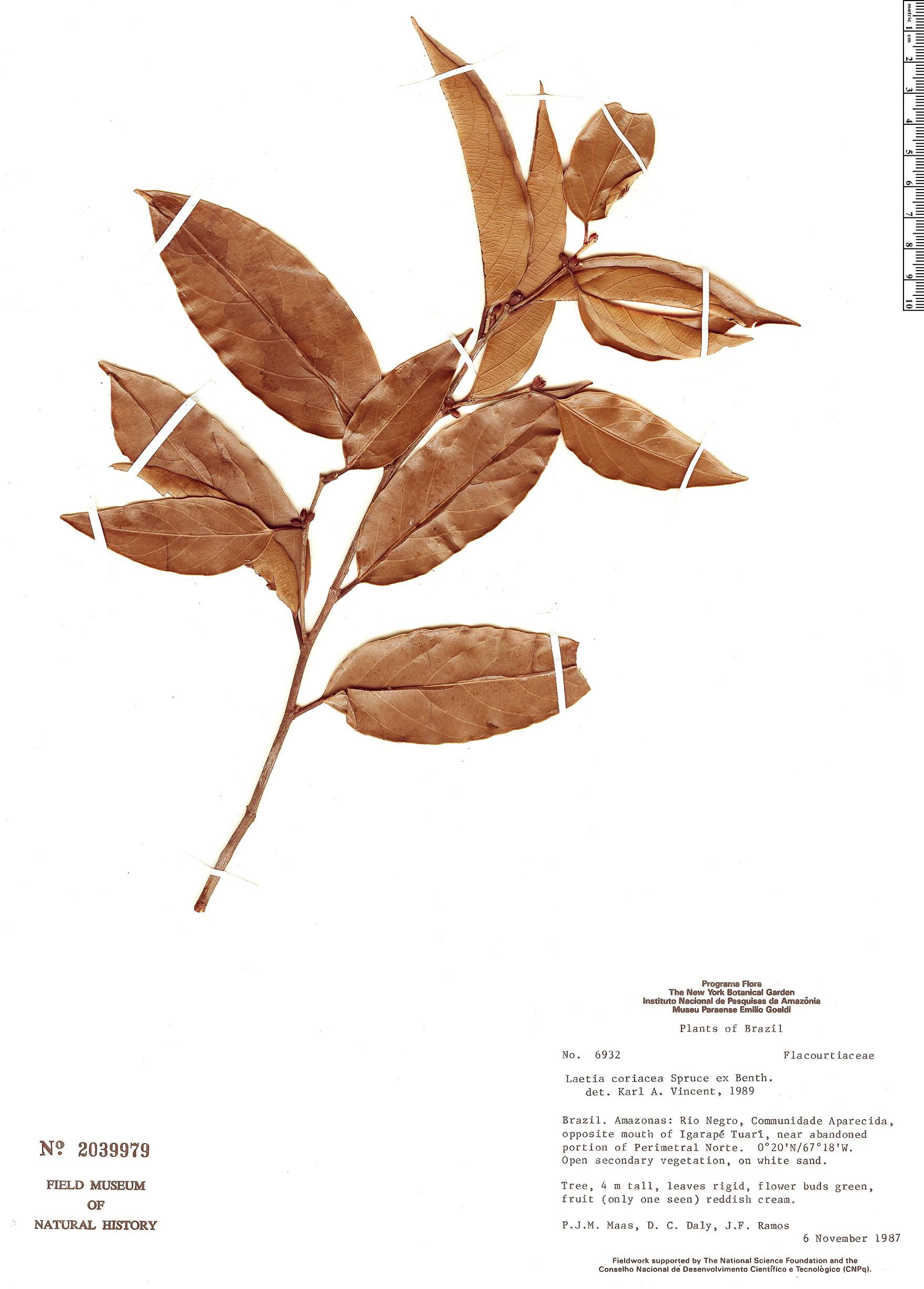 Specimen: Laetia coriacea