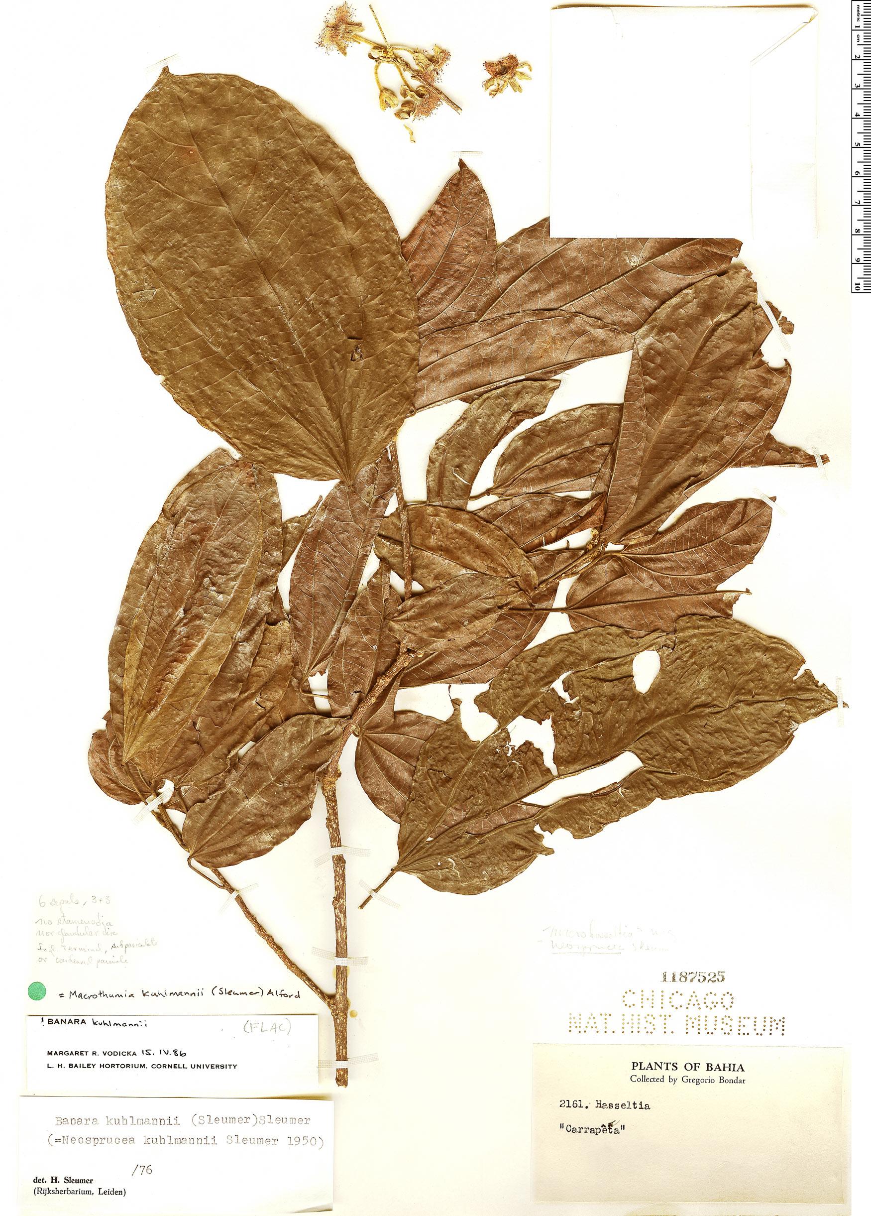 Specimen: Macrothumia kuhlmannii