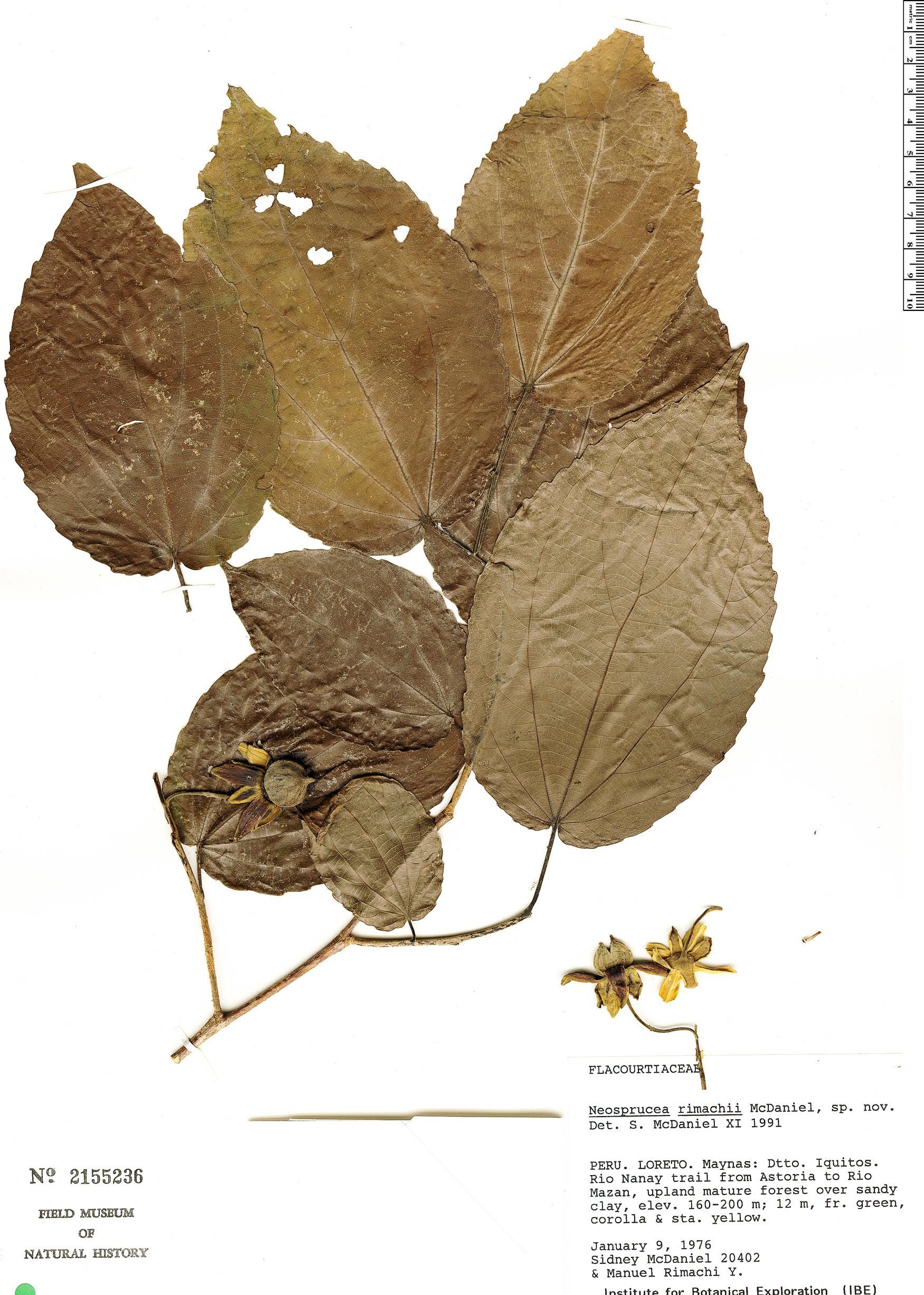 Specimen: Neosprucea rimachii
