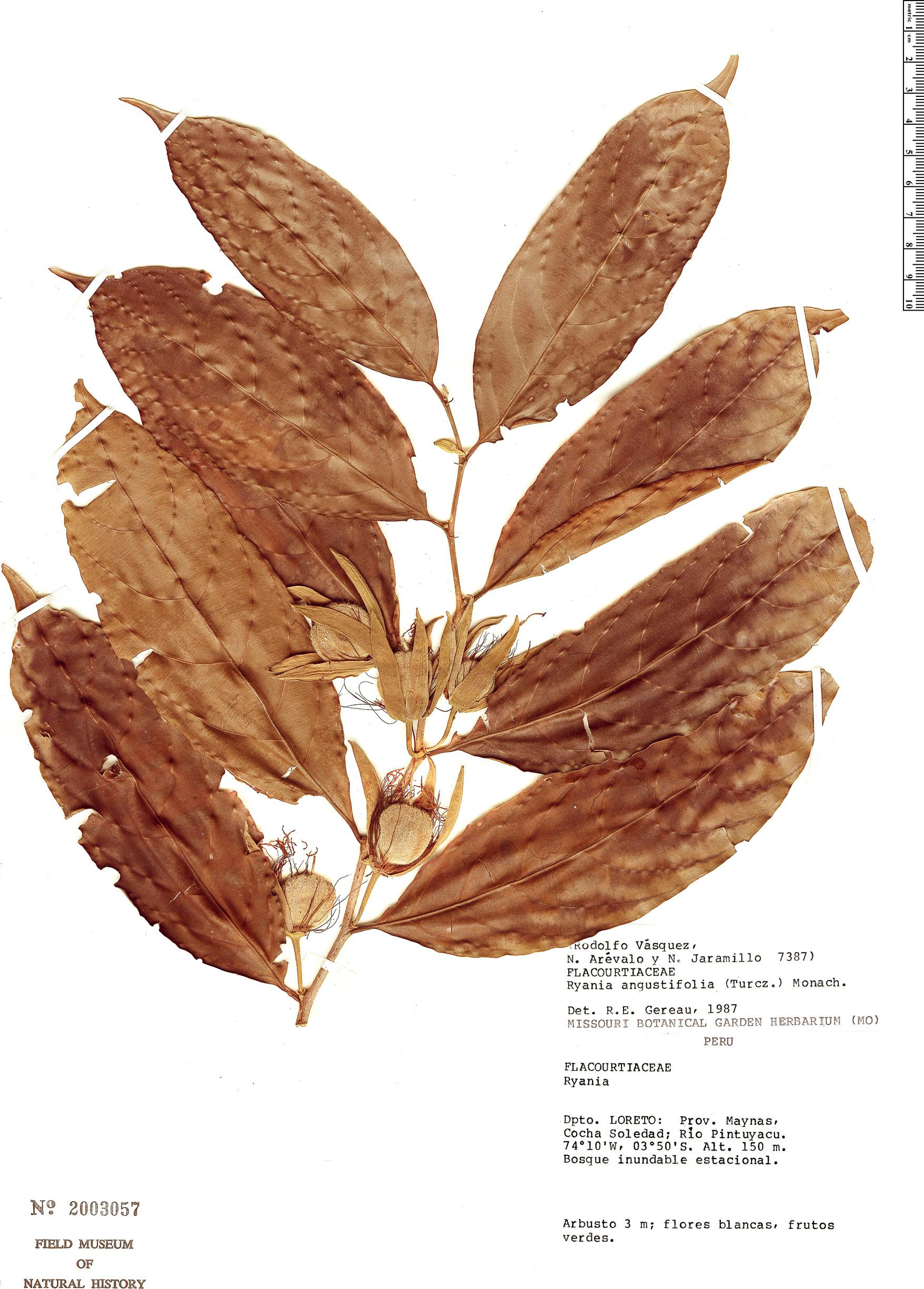 Specimen: Ryania angustifolia