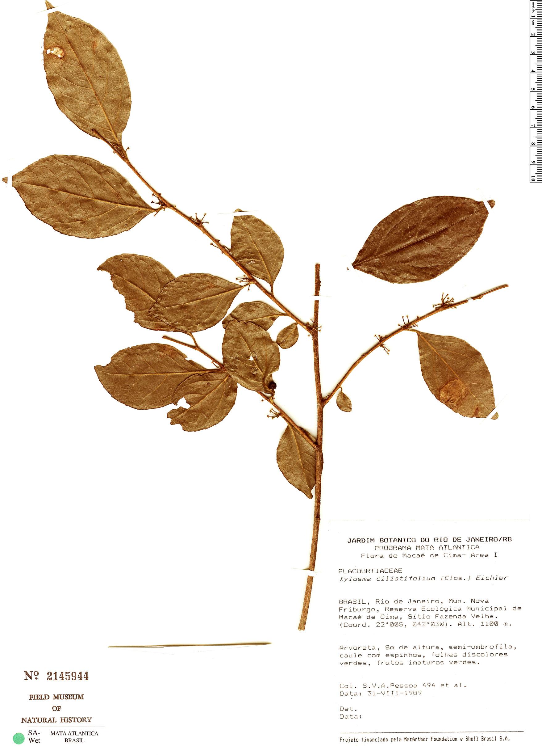 Specimen: Xylosma ciliatifolia