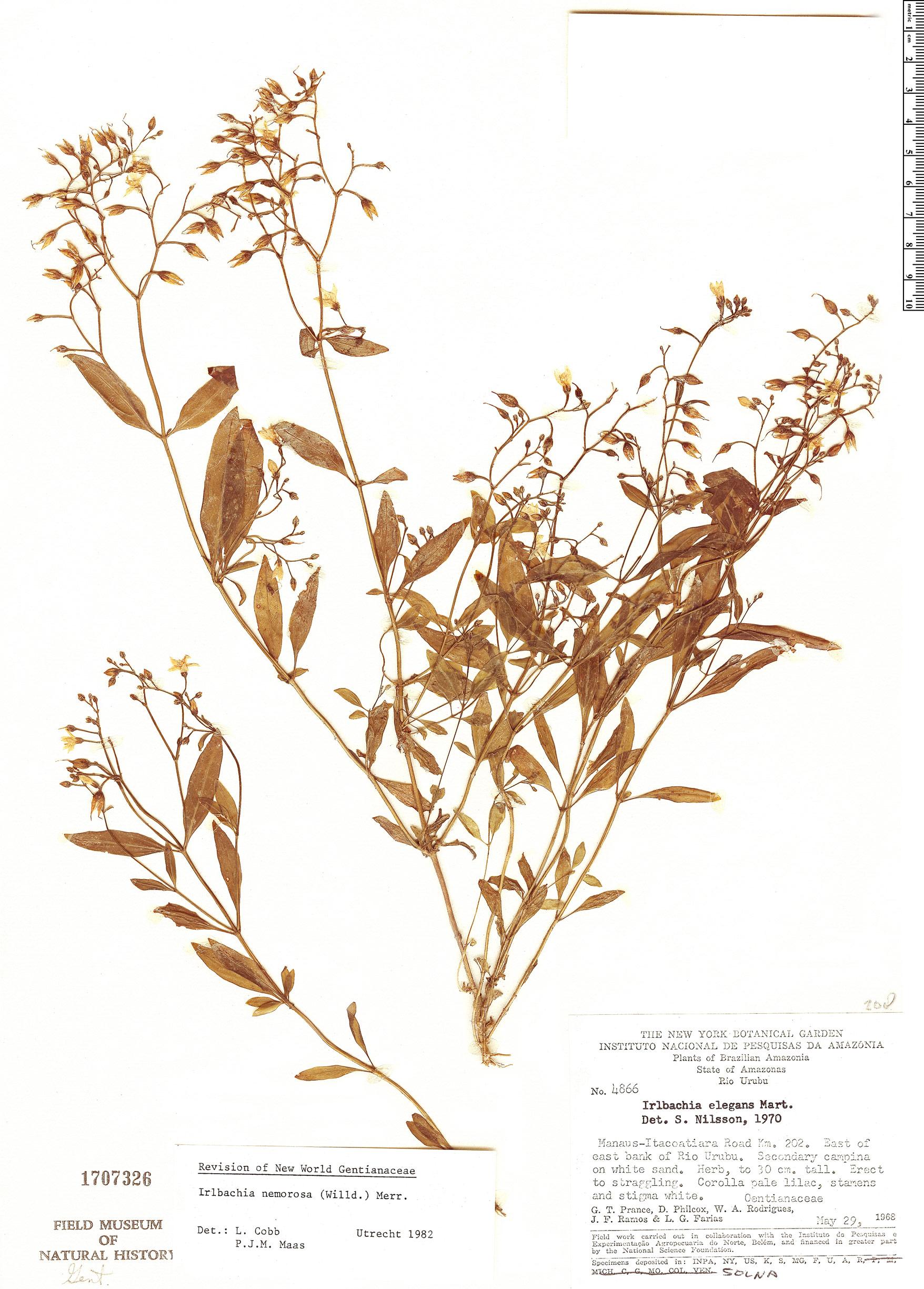 Specimen: Irlbachia nemorosa
