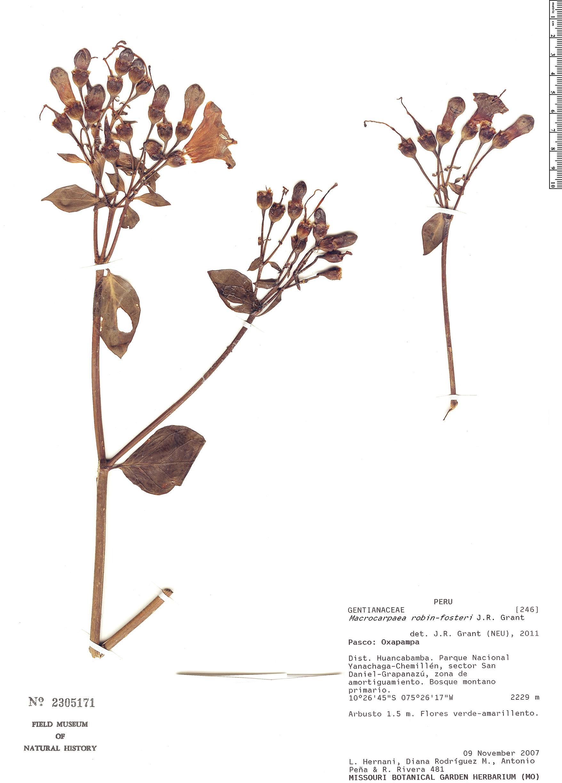 Specimen: Macrocarpaea robin-fosteri