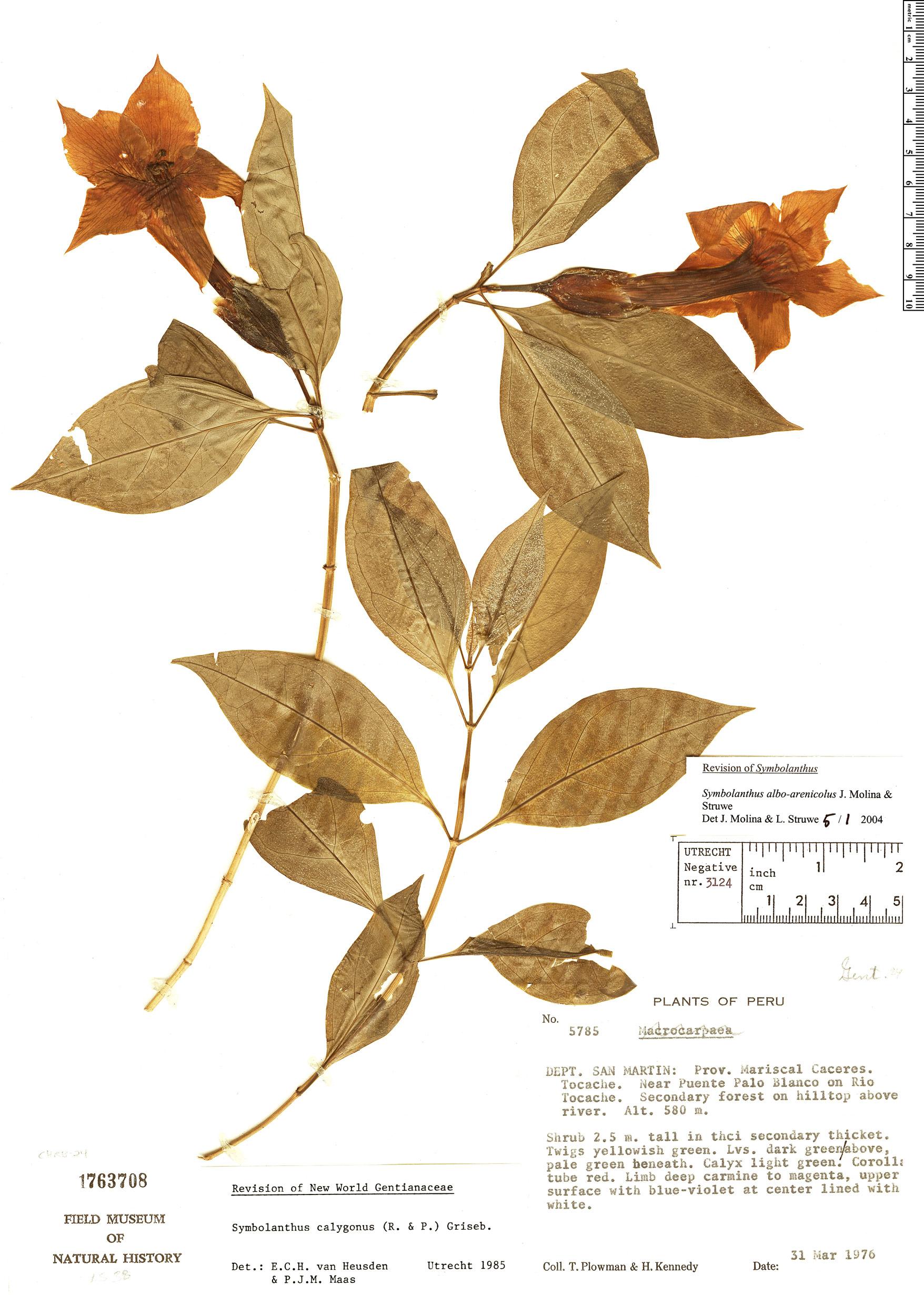 Specimen: Symbolanthus alboarenicola