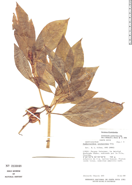 Specimen: Symbolanthus pulcherrimus