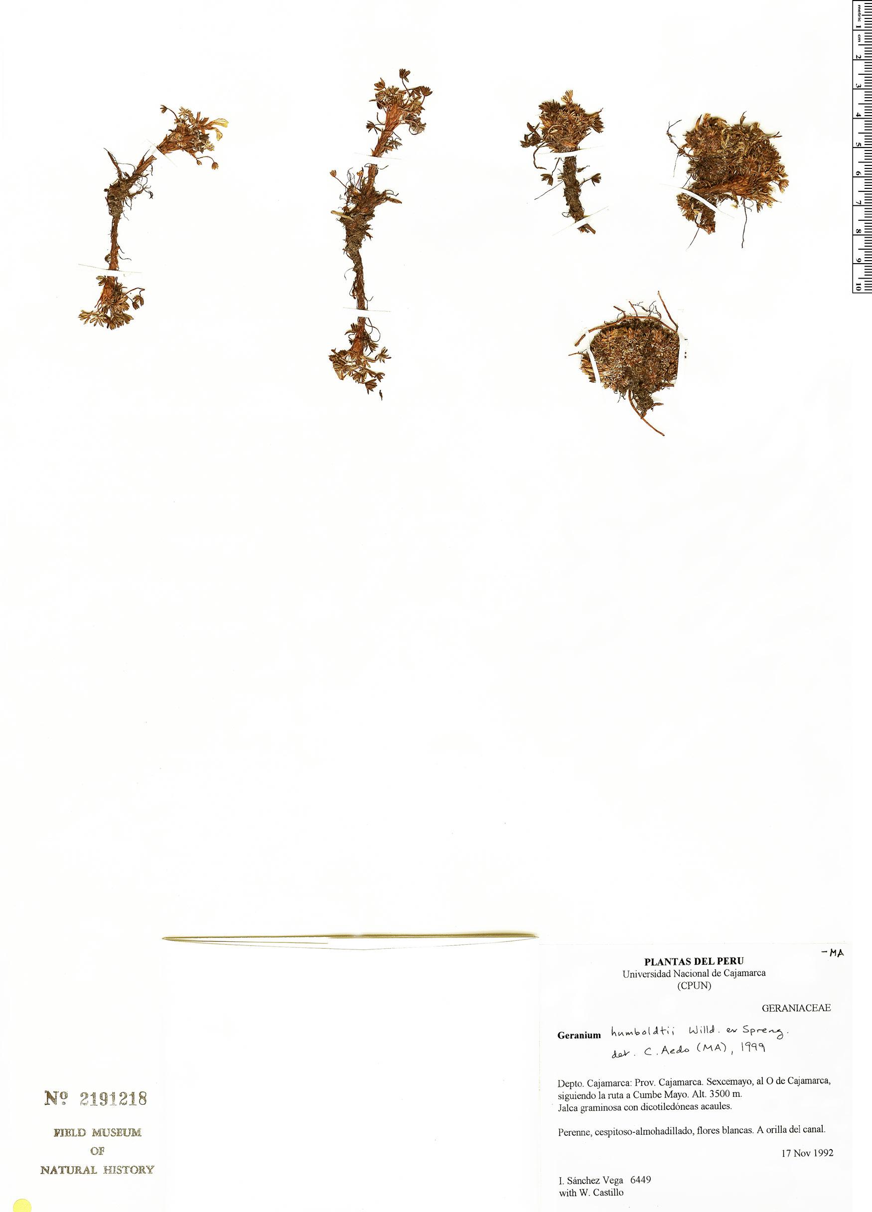 Geranium humboldtii image