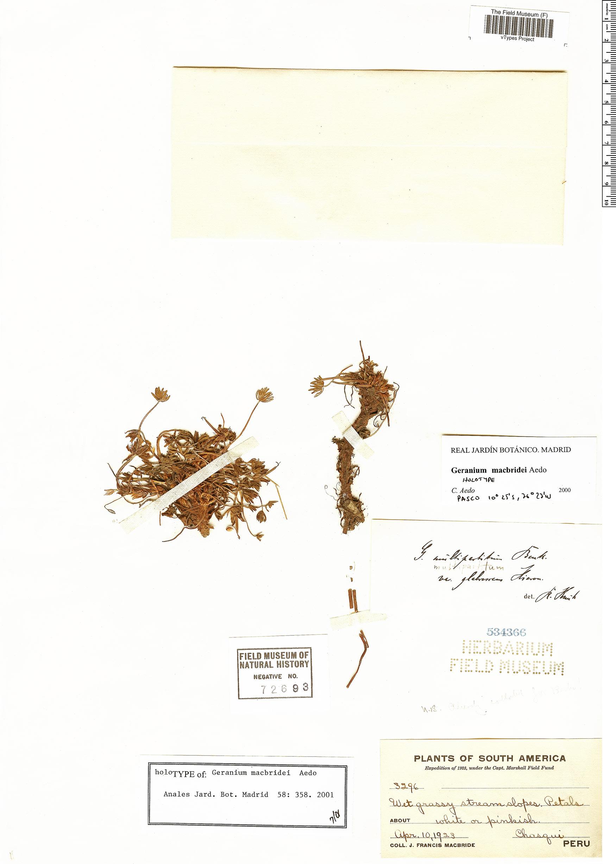 Specimen: Geranium macbridei