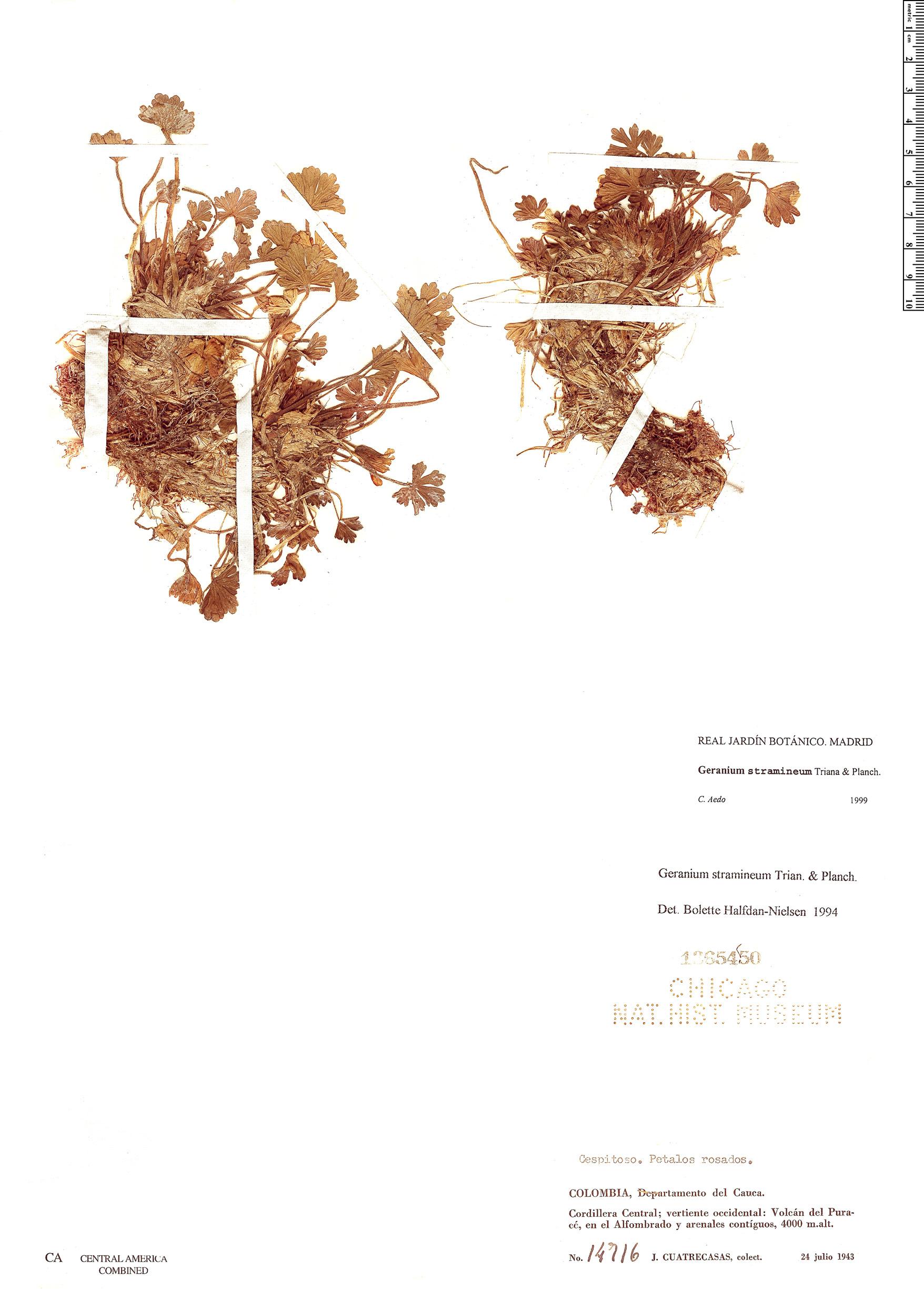 Geranium stramineum image