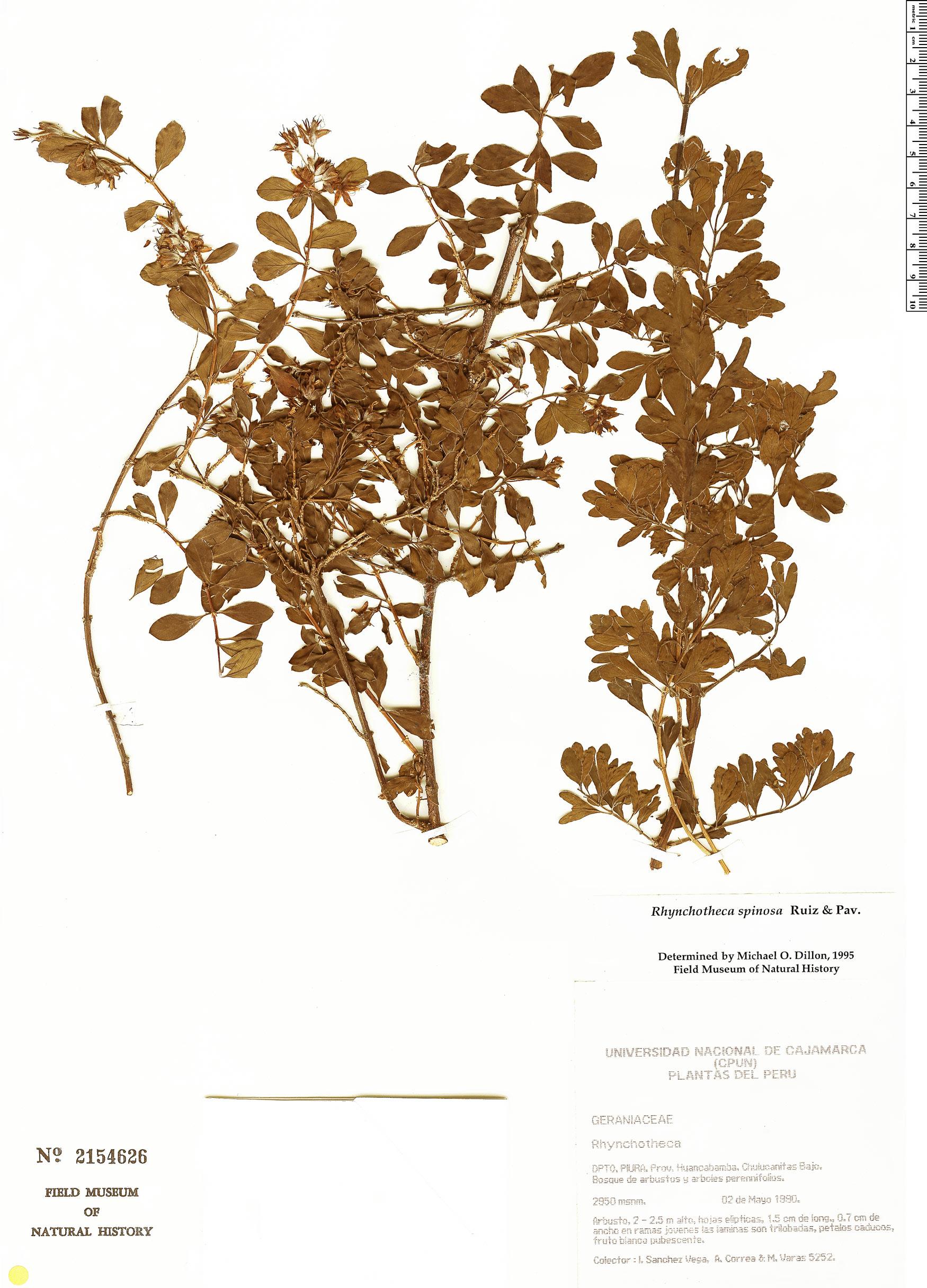 Specimen: Rhynchotheca spinosa