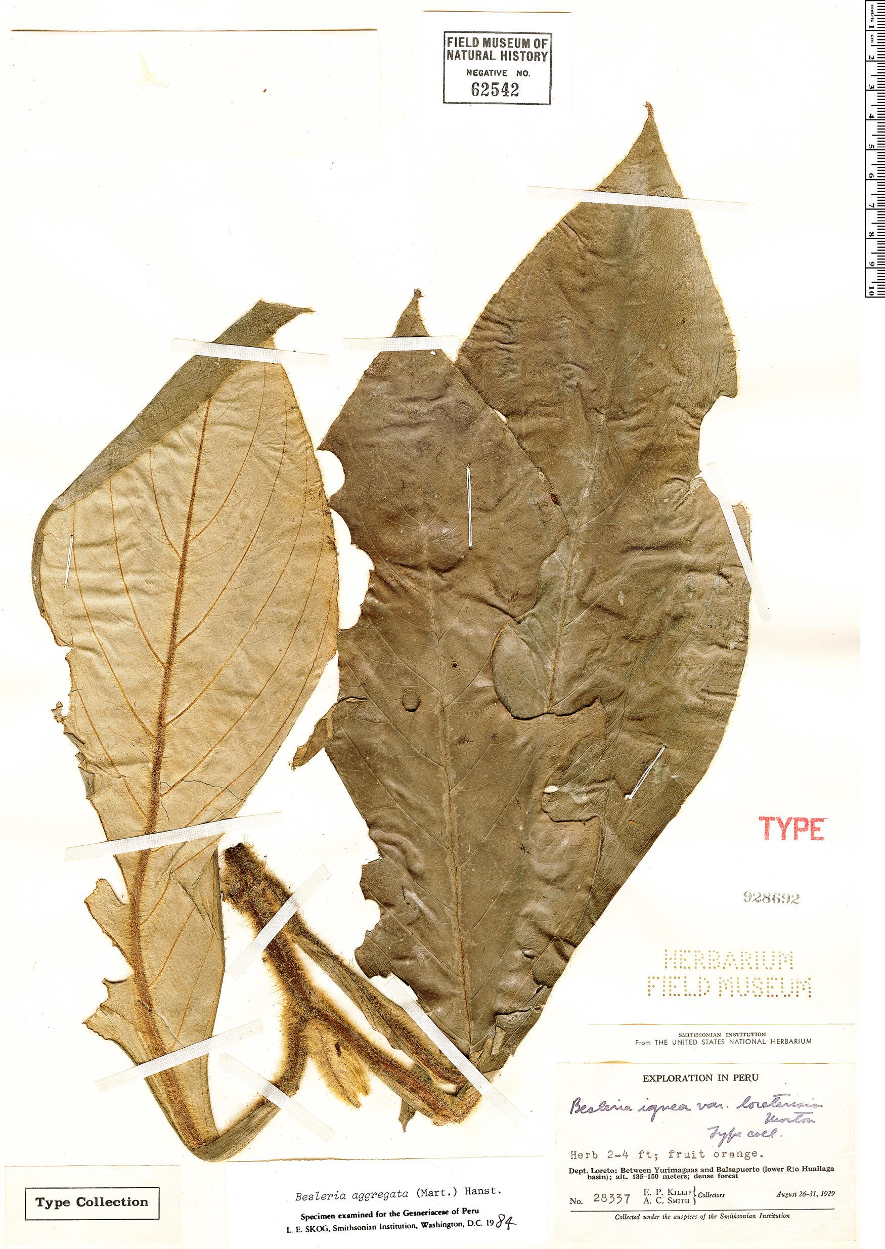 Specimen: Besleria aggregata