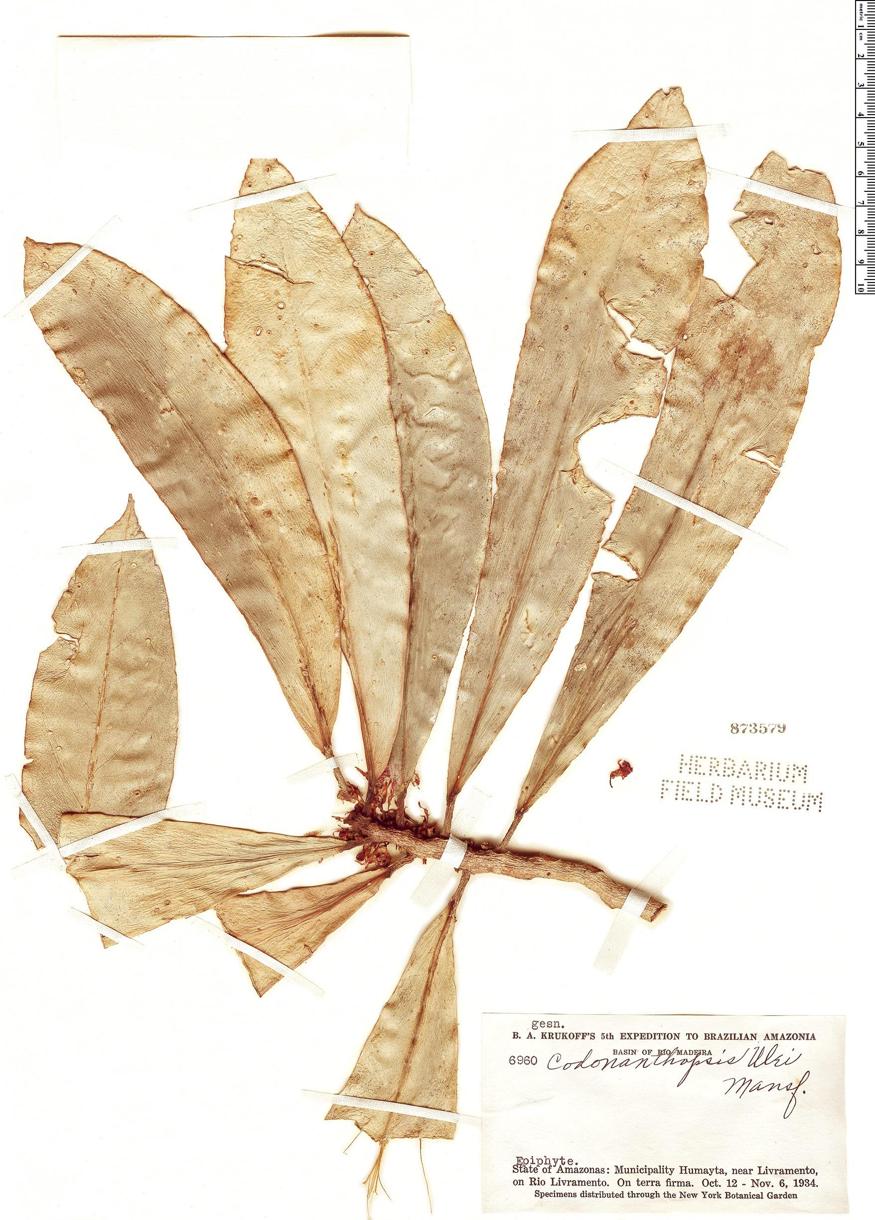 Specimen: Codonanthopsis ulei