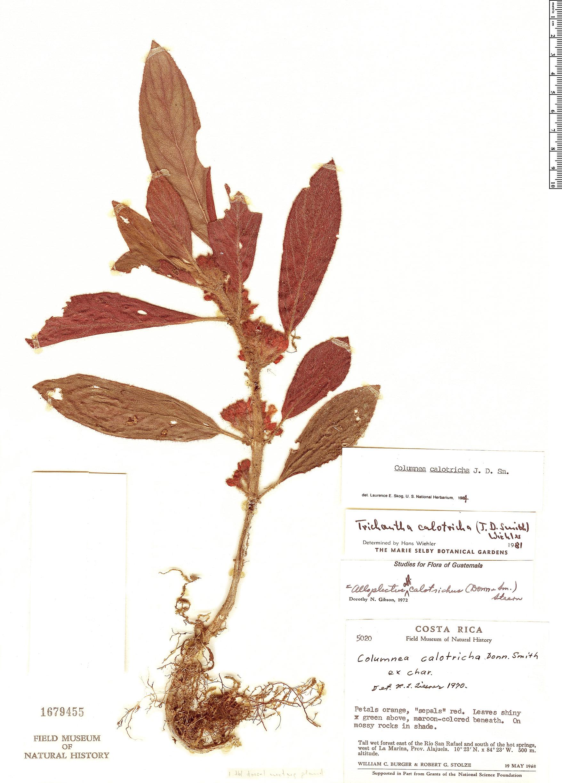 Specimen: Columnea calotricha