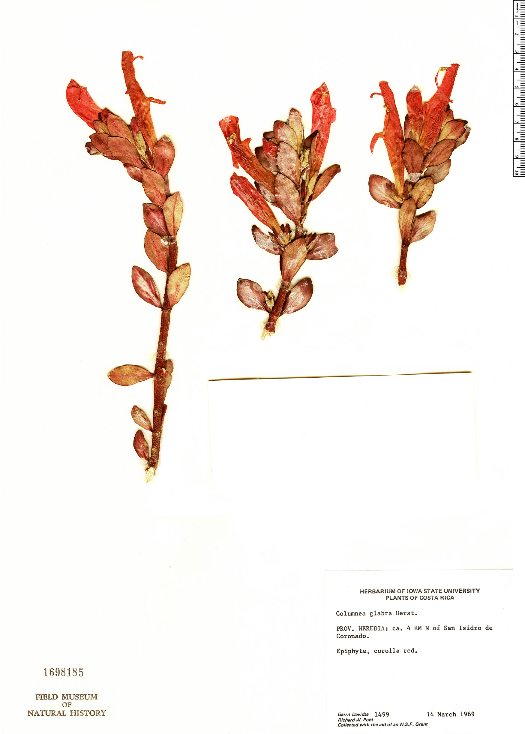 Specimen: Columnea glabra